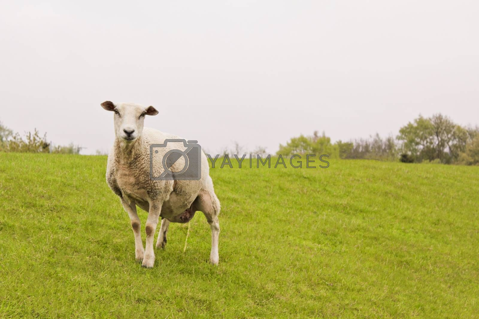 Sheep pees on green meadow in Brake, Lower Saxony Germany.