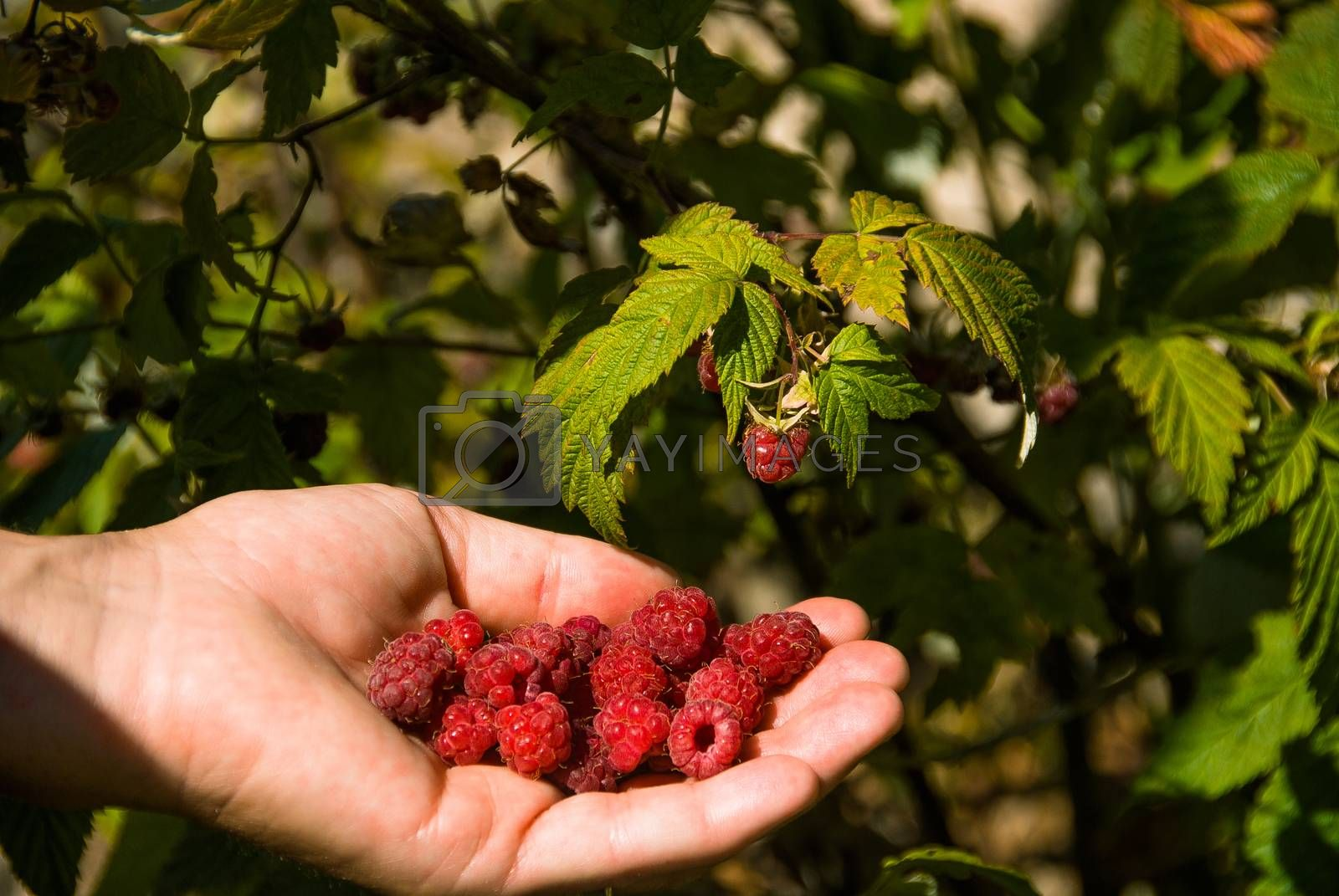 hand holding a handful of raspberries just picked up