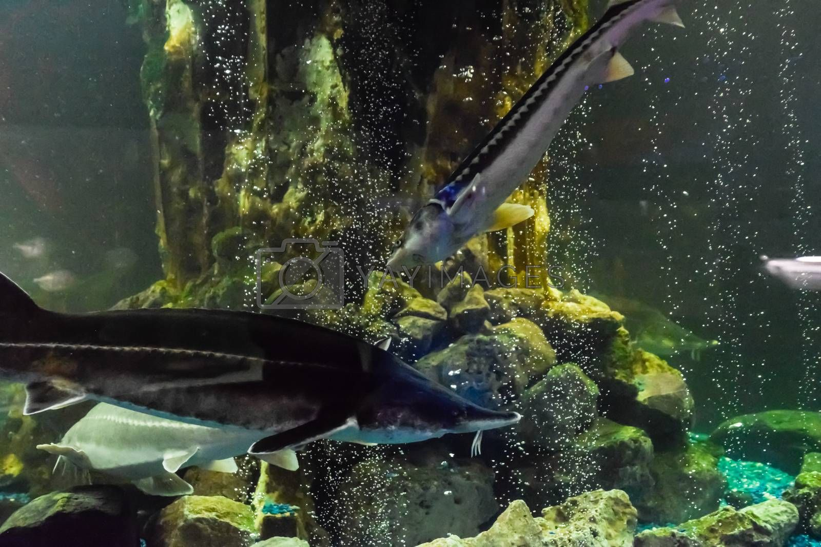 Fish sturgeon swims in the aquarium of the oceanarium. Sturgeon fish