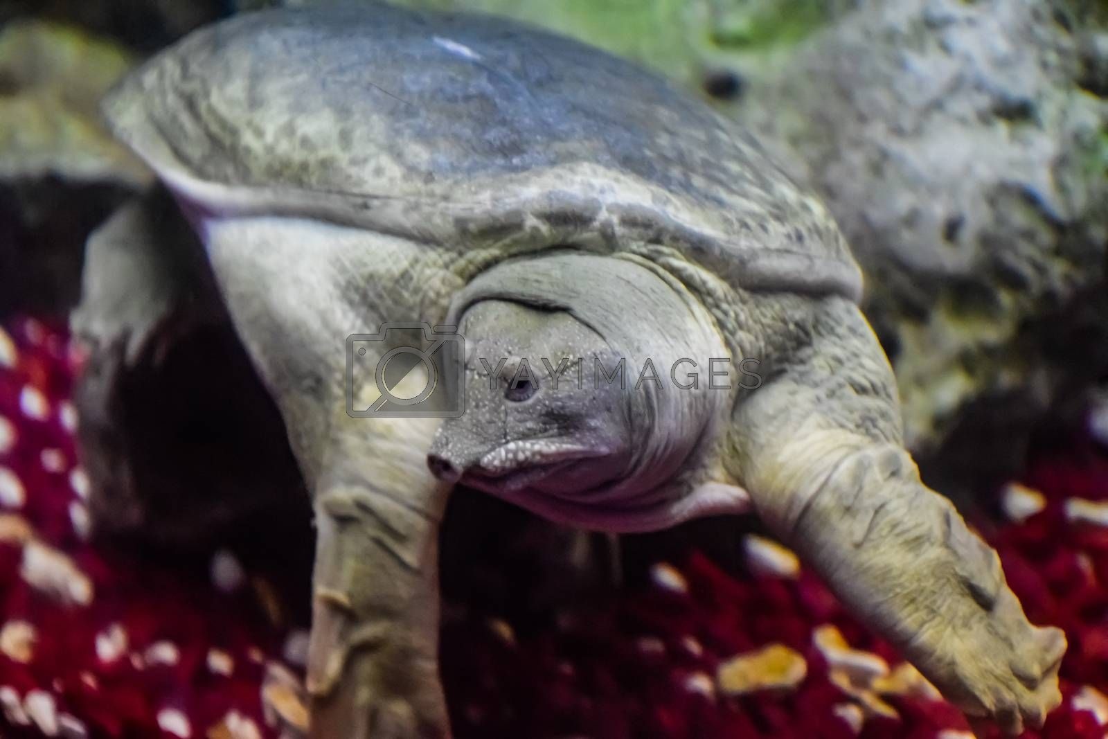 a Chinese softshell turtle a Pelodiscus sinensis