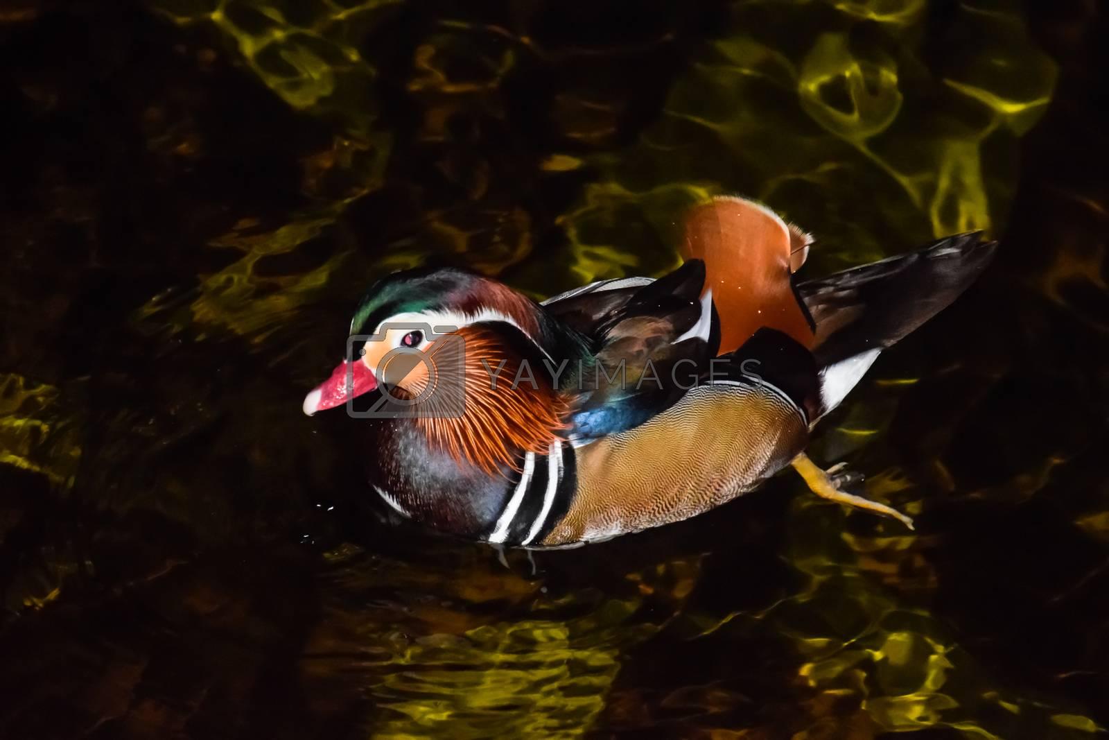 Mandarin Duck, a beautiful bird in the pond.