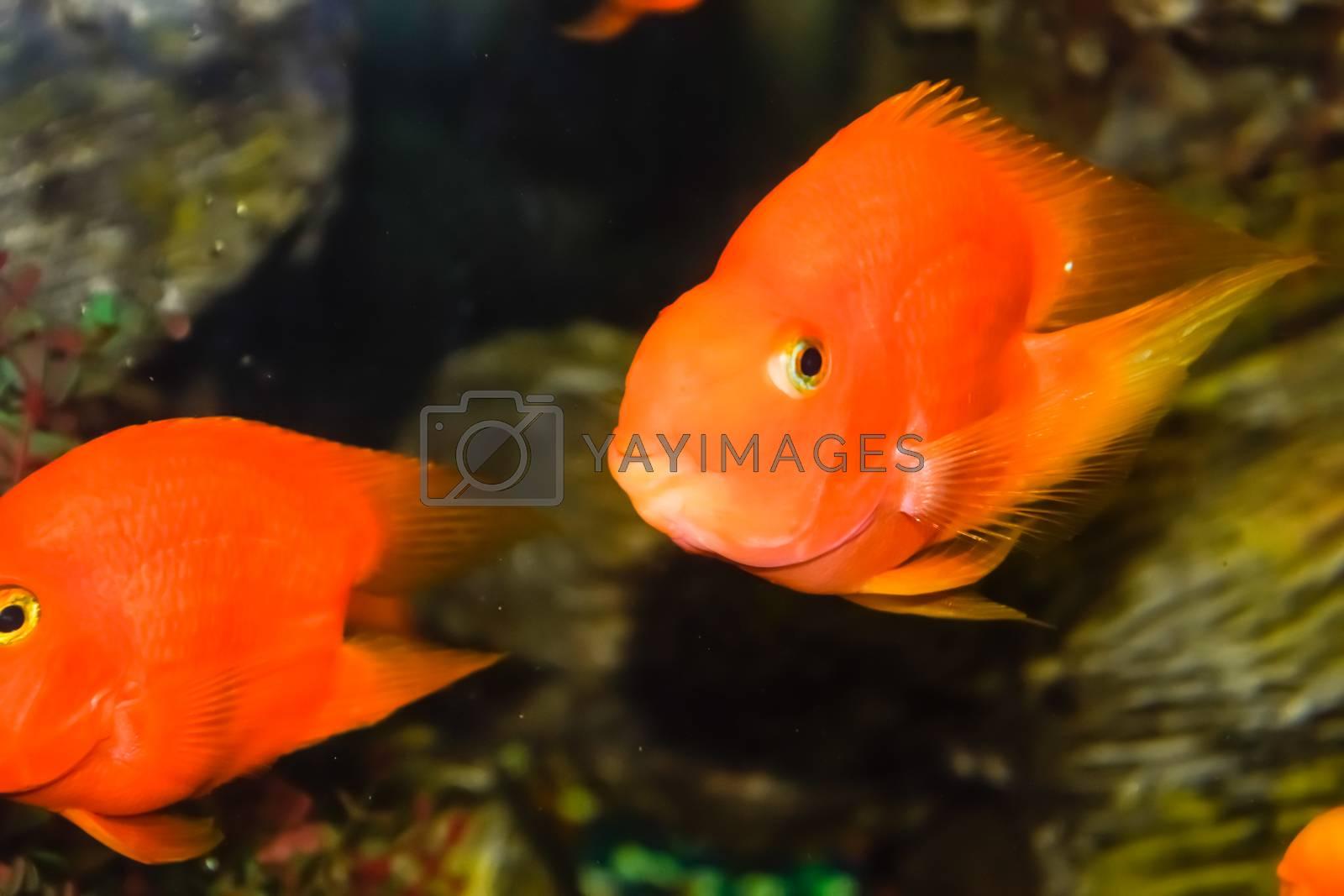 Fish in the aquarium of the aquarium, Scaridae