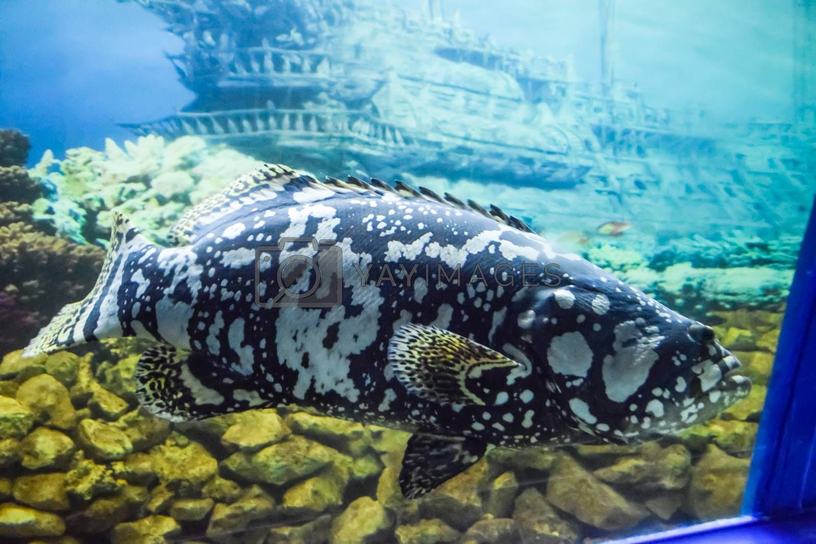 a Giant grouper Humpback grouperpanther grouper Humpback grouper