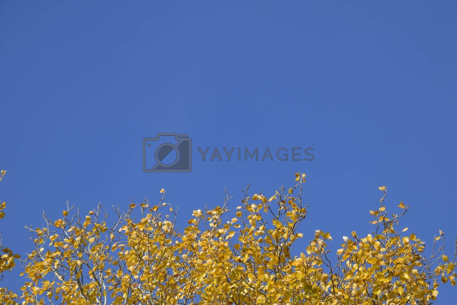 Silver poplar in autumn paint against the blue sky. Yellow Poplar Leaves