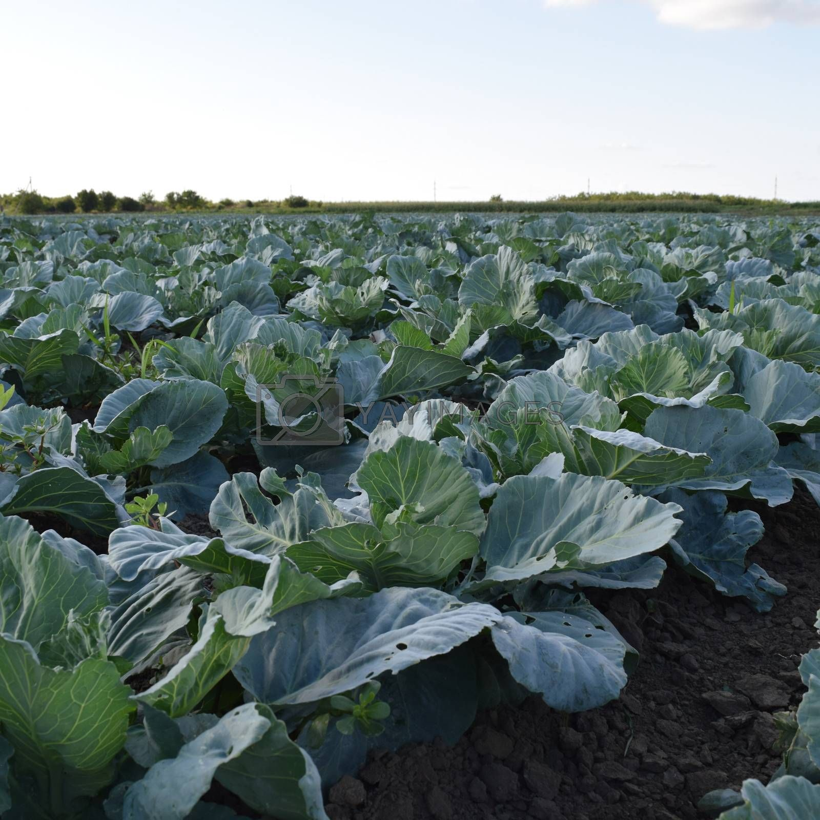 Cabbage field. Cultivation of cabbage in an open ground in the field. Month July, cabbage still the young.