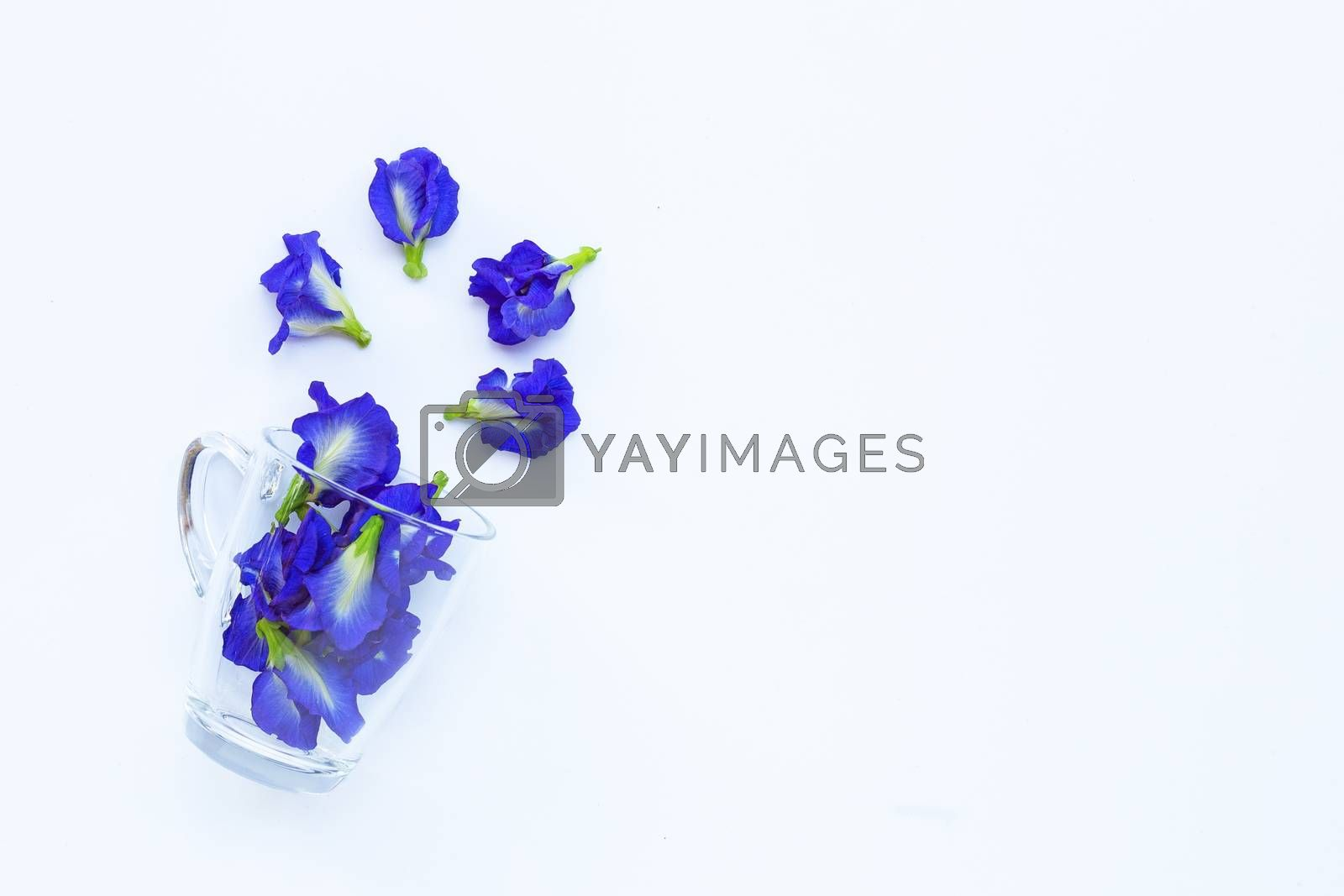 Blue butterfly pea flower in glass cup on white background. Top view with copy space