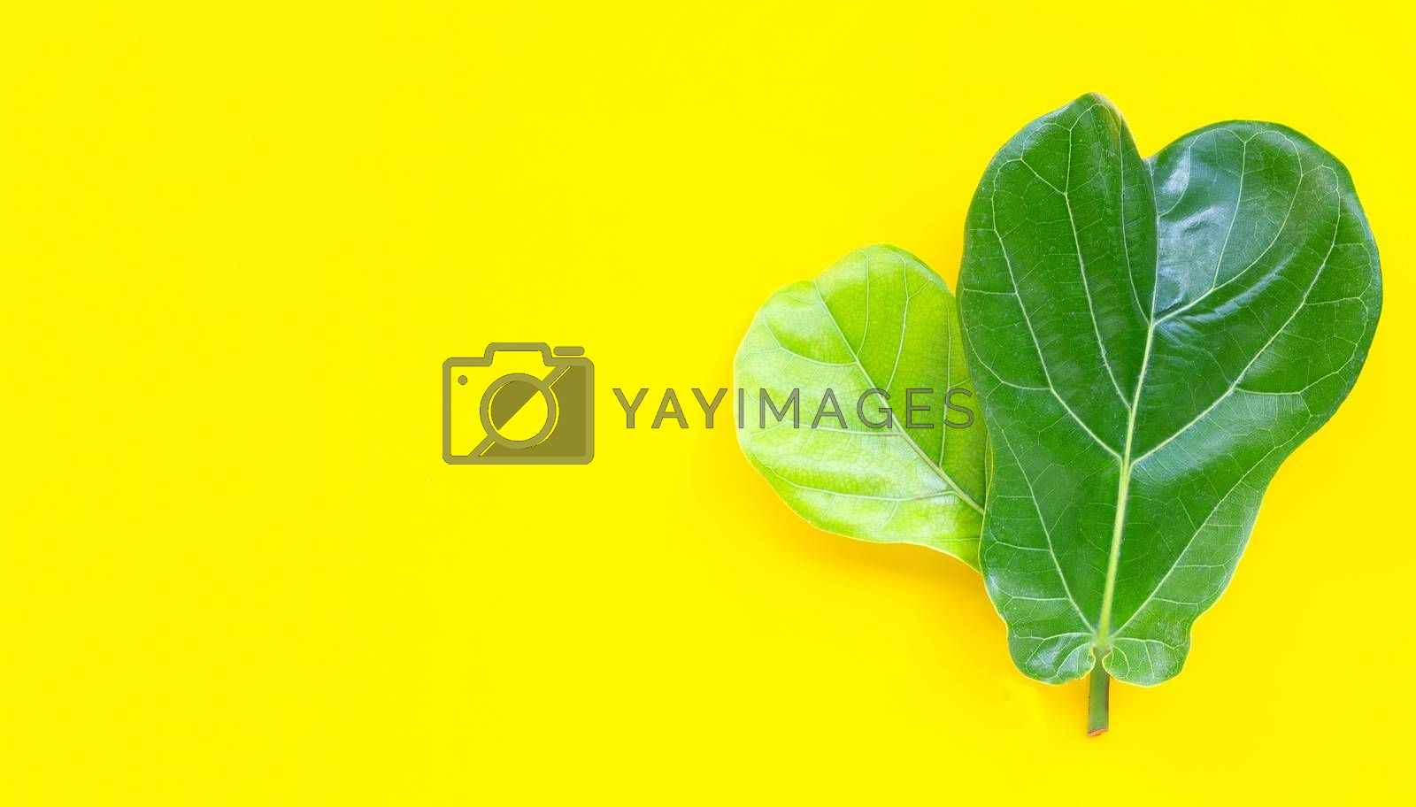 Ficus lyrate leaves on yellow background. Copy space