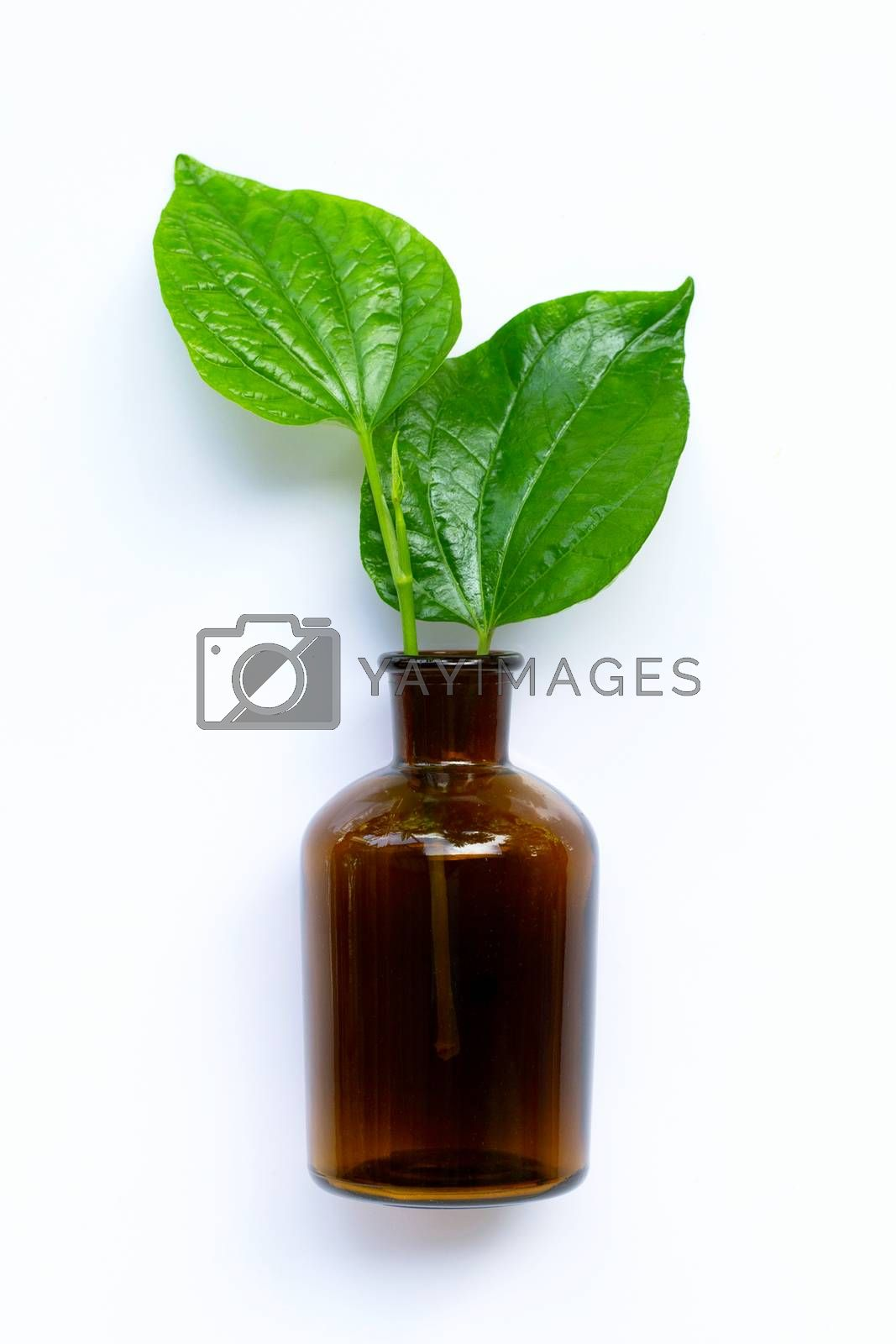 Fresh piper sarmentosum or wildbetal leafbush with essential oil bottle on white background.
