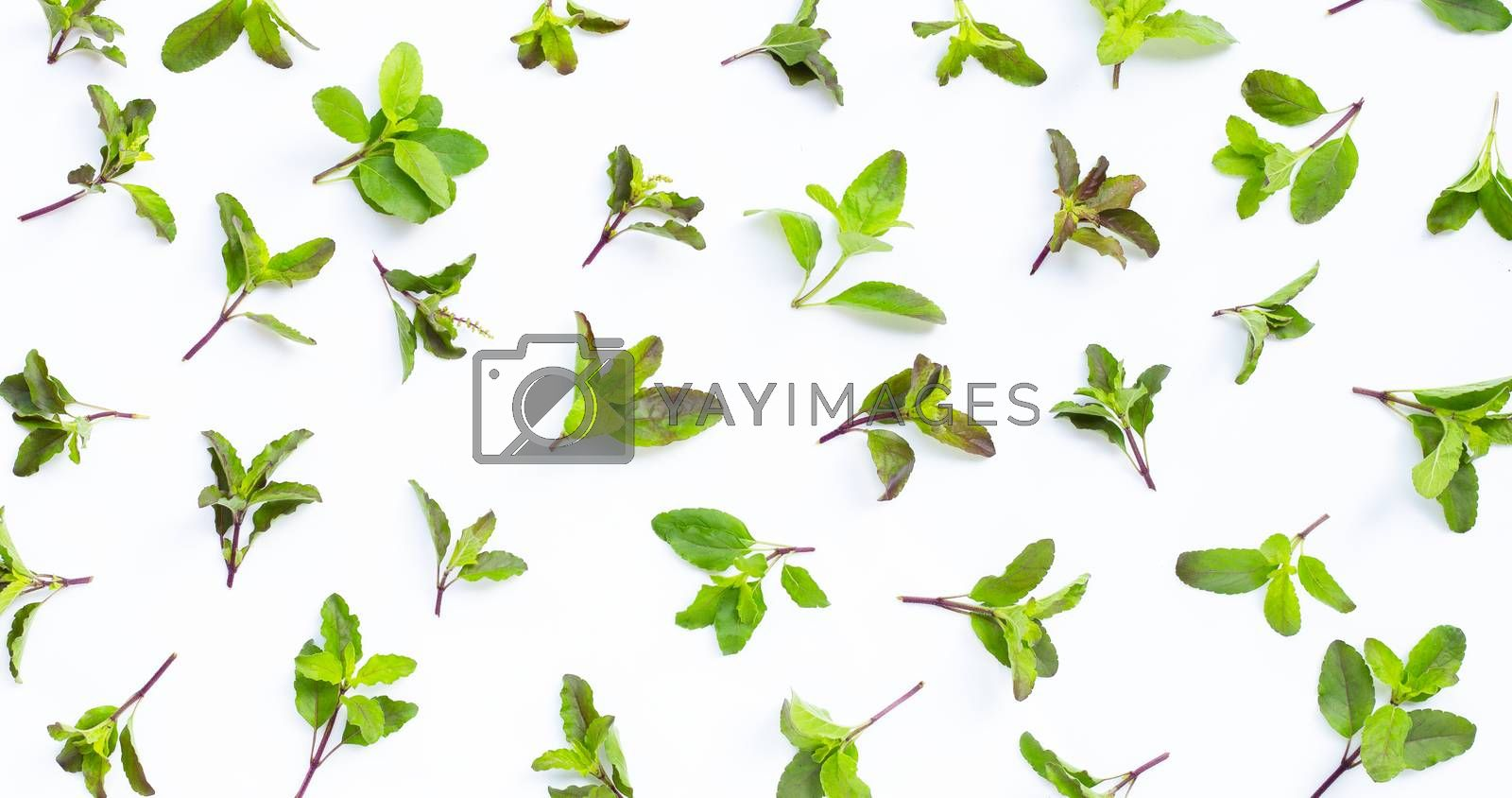 Fresh holy basil leaves on white background. Top view