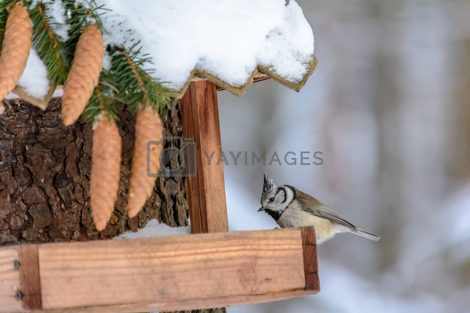 Forest birds live near the feeders in winter by KarimT