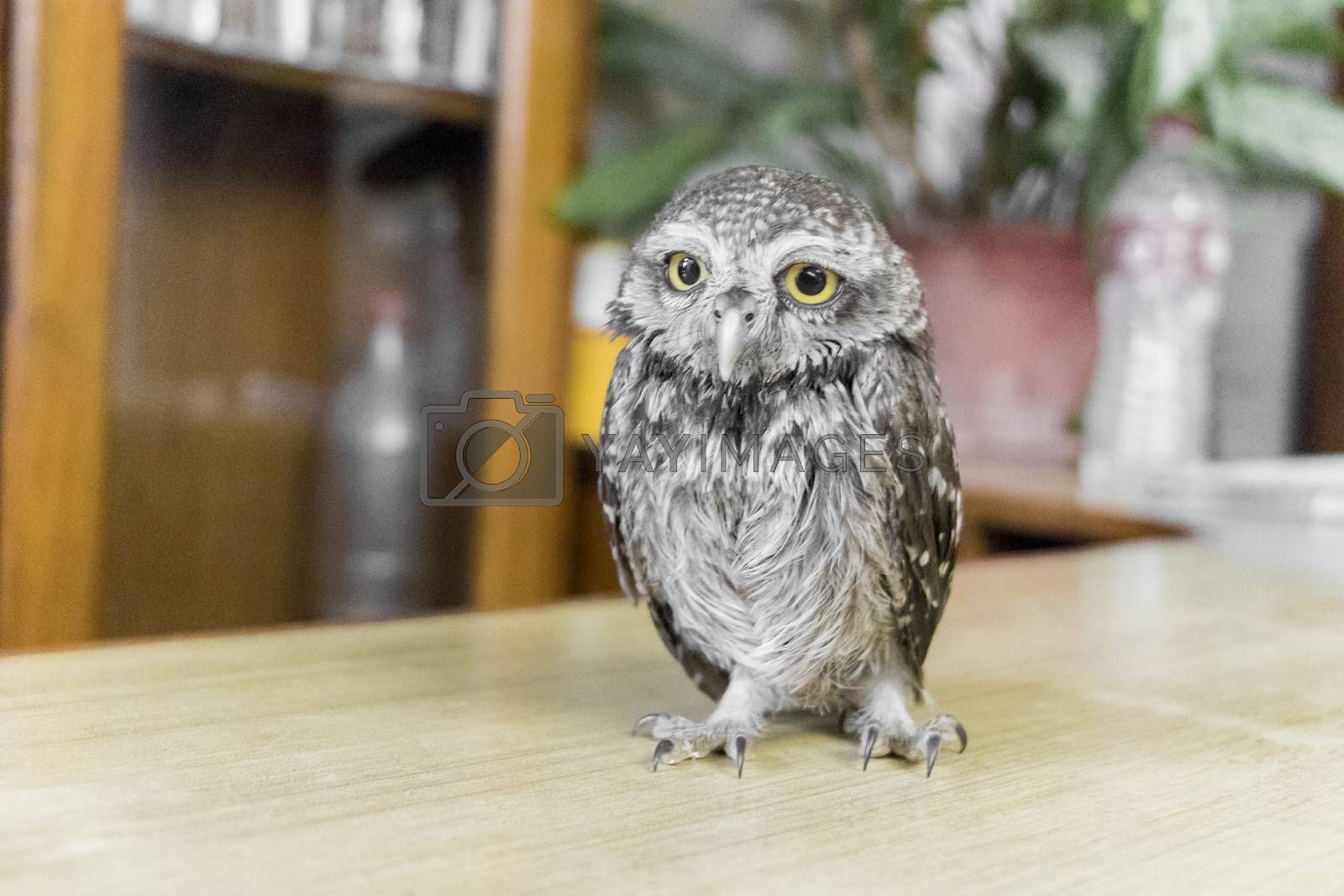 Rare and cute owl baby with big yellow eyes from Pokhara in Nepal.
