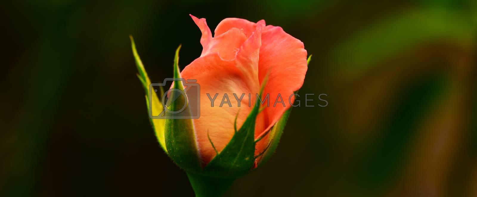 Pink Rose close-up. Rose on dark background.