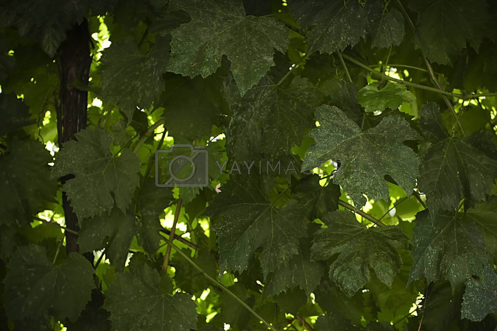 Green wall of grape leaves in autumn