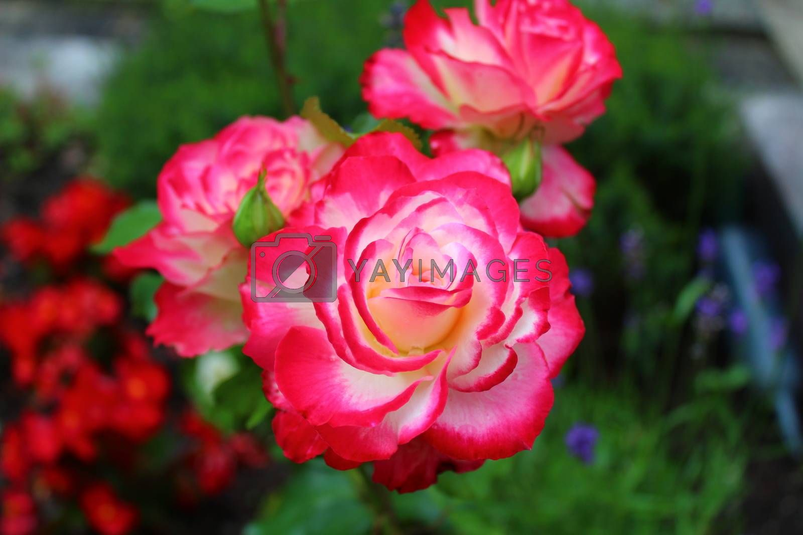 Royalty free image of red rose in the garden in the summer by martina_unbehauen