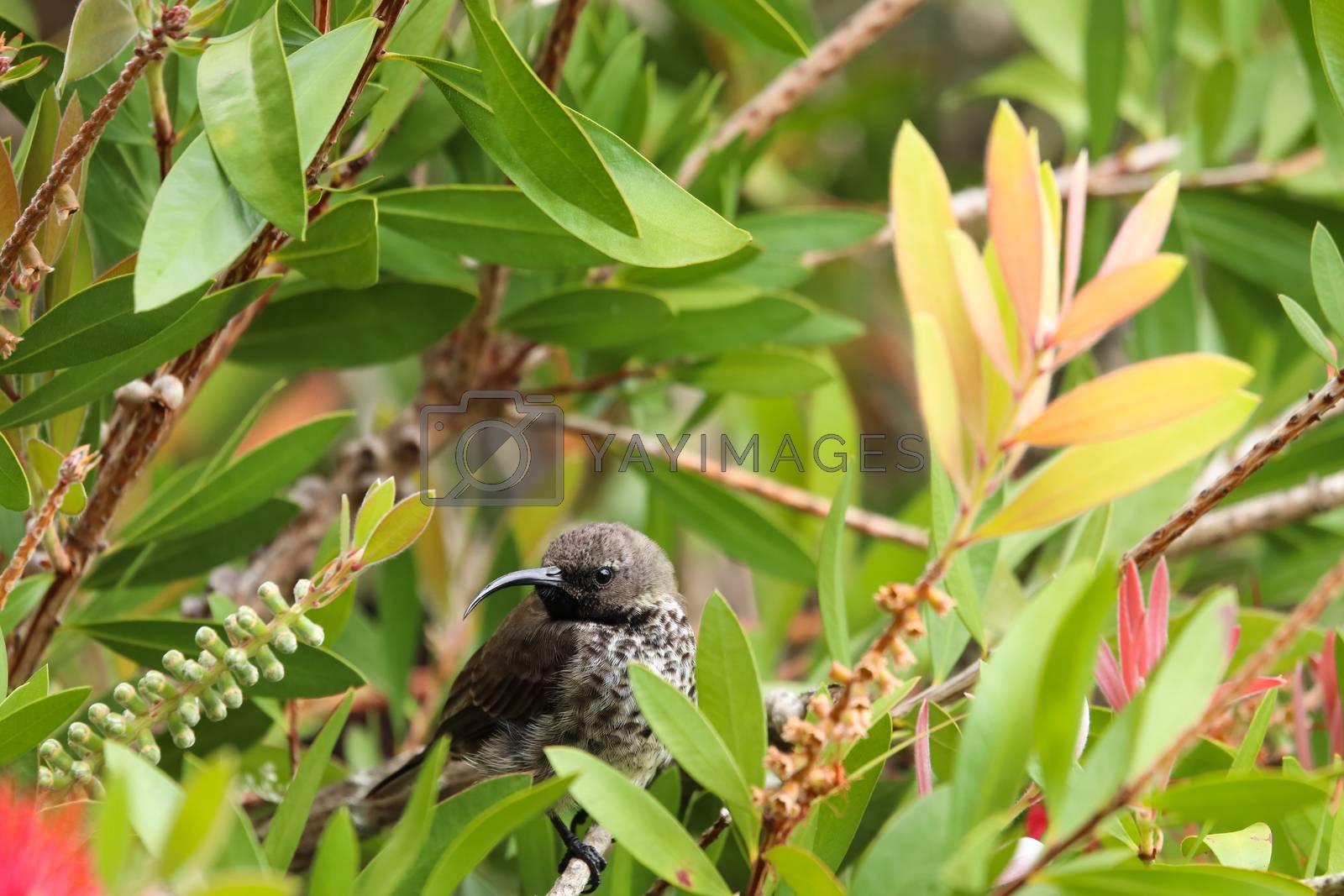 A black sunbird female (Nectarinia amethystina) perched on a bottlebrush tree branch, Plettenberg Bay, South Africa
