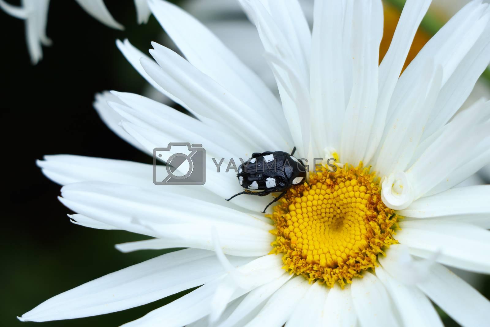 White-spotted fruit chafer beetle (Mausoleopsis amabilis) on a large white daisy flower, Plettenberg Bay, South Africa