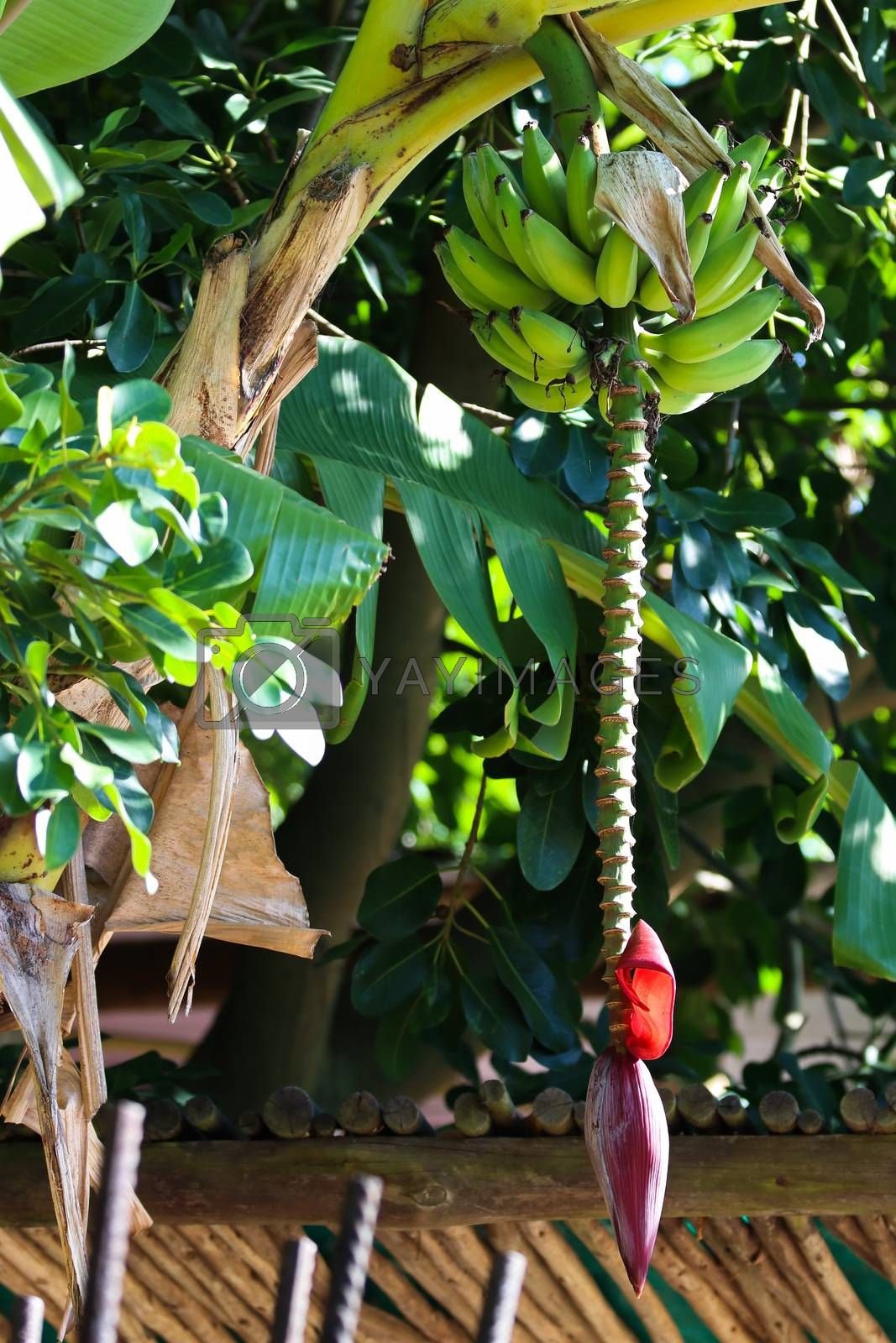 A banana palm tree fruit stalk (Musa acuminata) hanging from palm with some bananas, Wilderness, South Africa