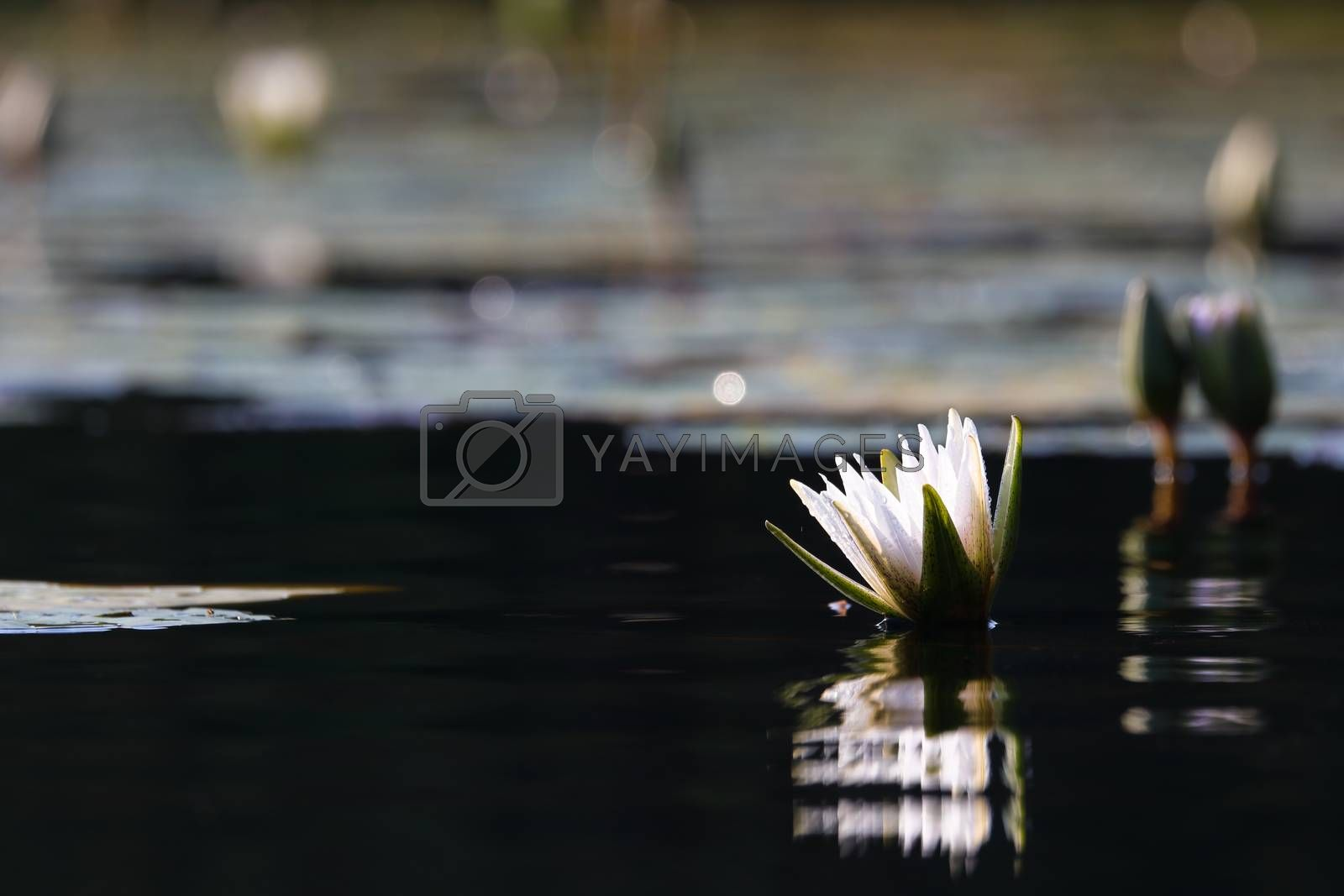 White star lotus waterlily (Nymphaea nouchali) emerging from dark pond water surface, Groot Marico, South Africa