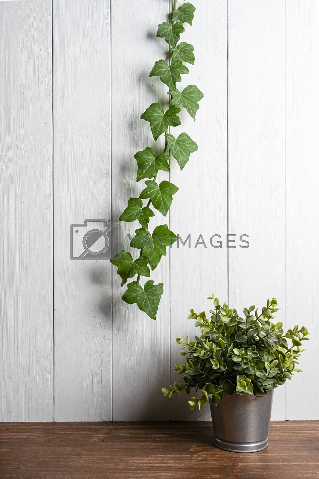a branch of climbing ivy on a white wooden wall