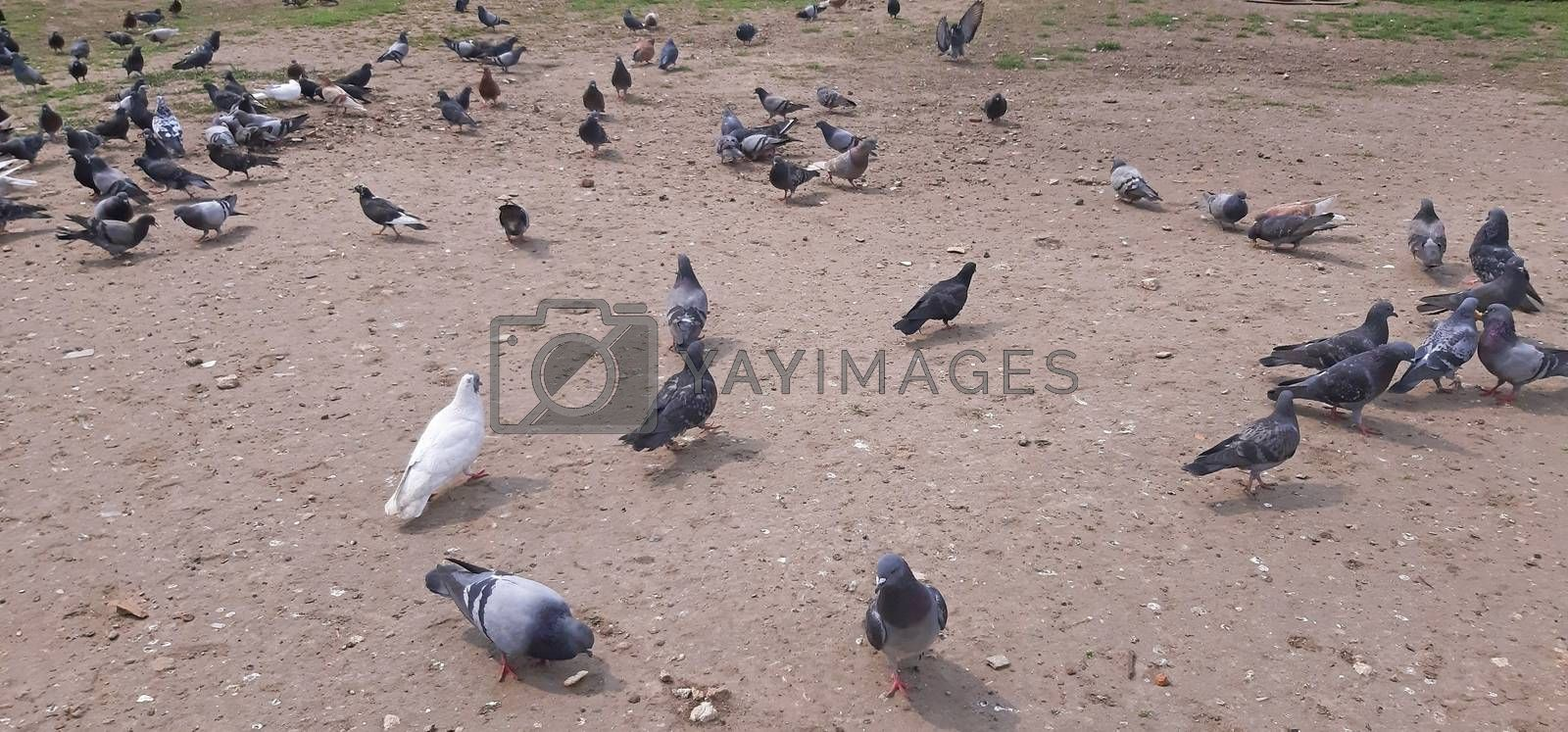 A lot of pigeons in the city.