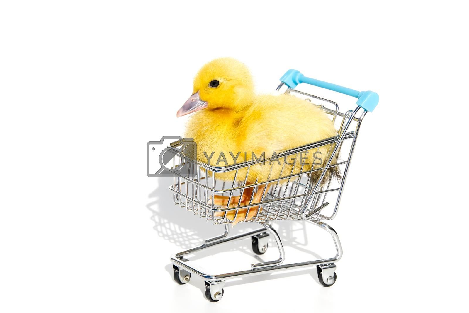 Little yellow ducklings in shopping carts on white background