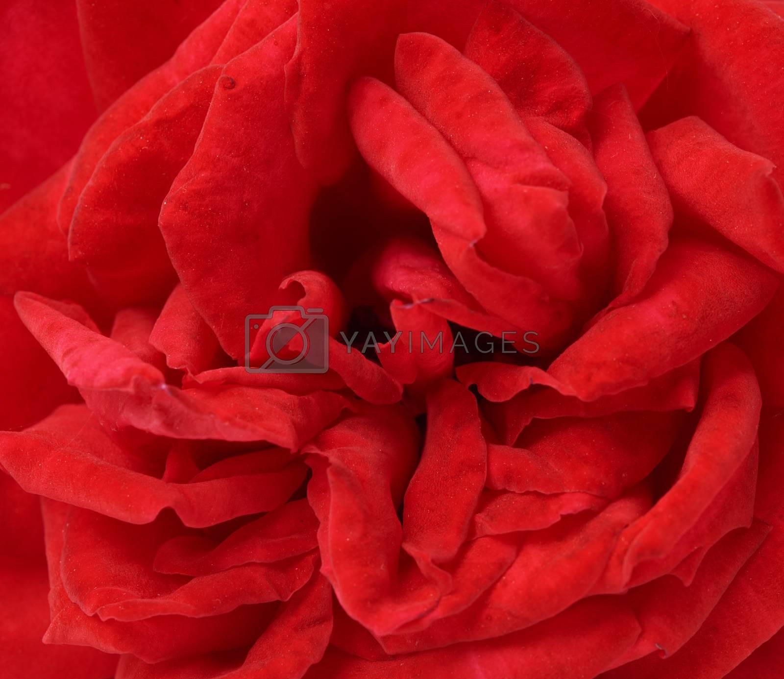 bud of a red blooming rose, full frame, macro