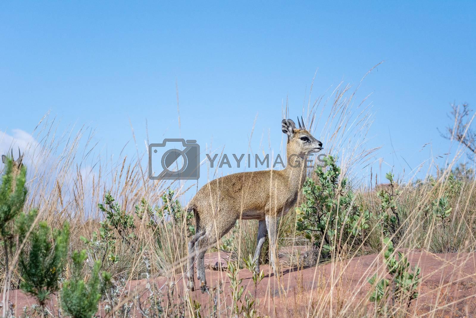 Klipspringer antelope (Oreotragus oreotragus) on blue sky in the background. Plenty of copy space. Animal wildlife