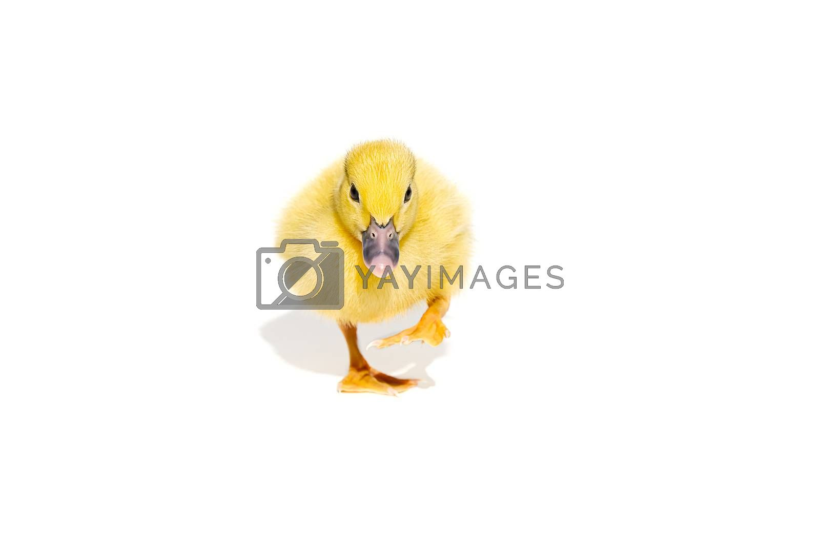 NewBorn little Cute yellow duckling isolated on white