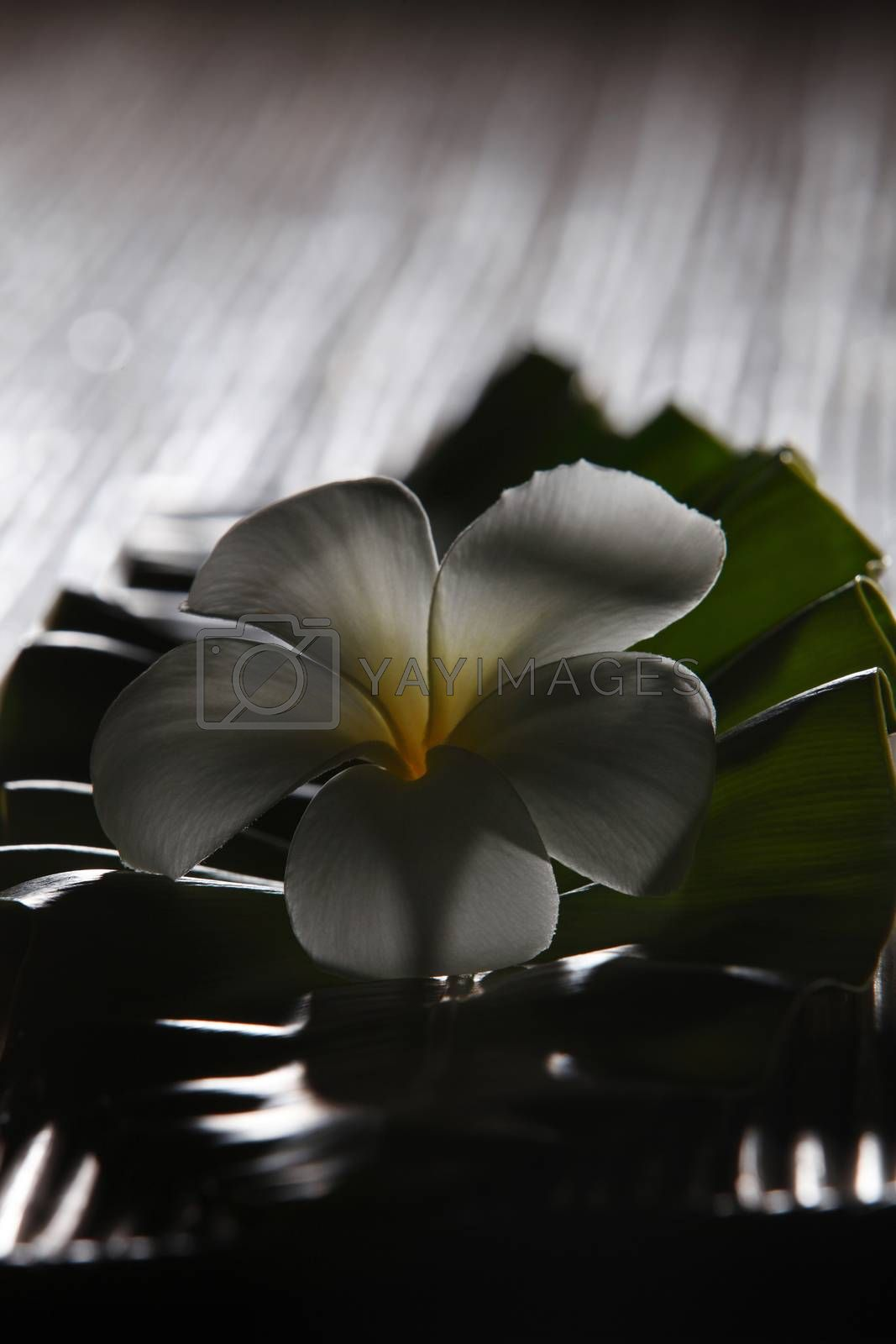 white frangipani rest on the green leaf