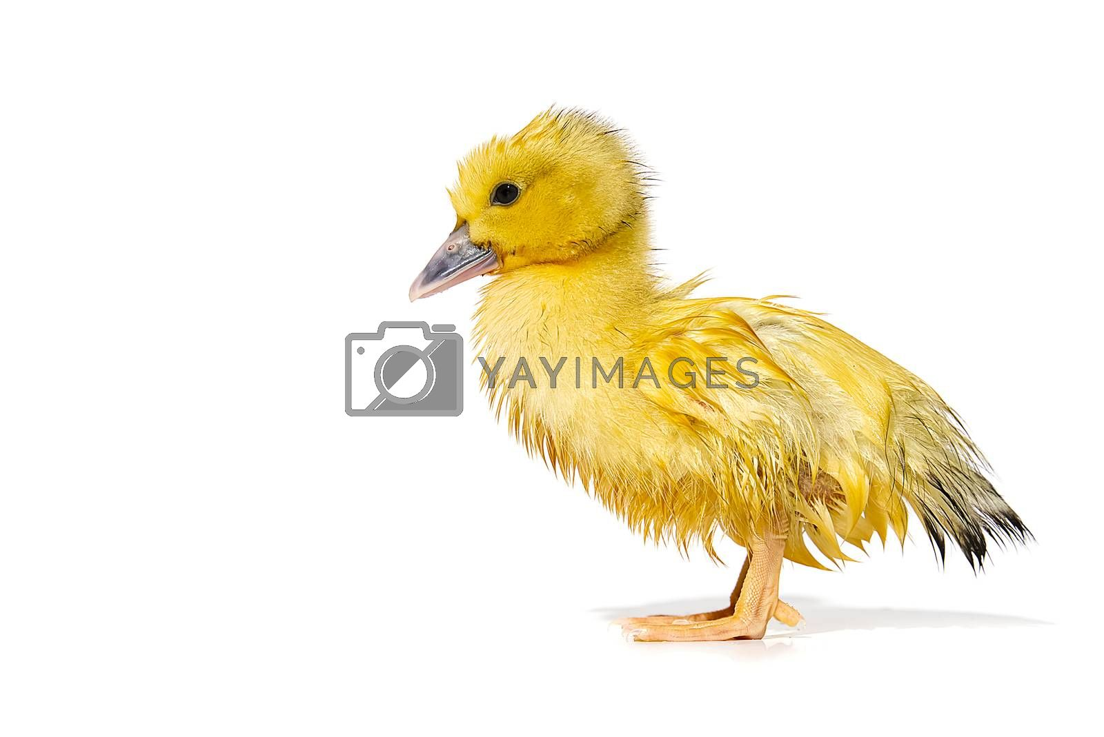 NewBorn little Cute yellow wet duckling isolated on white