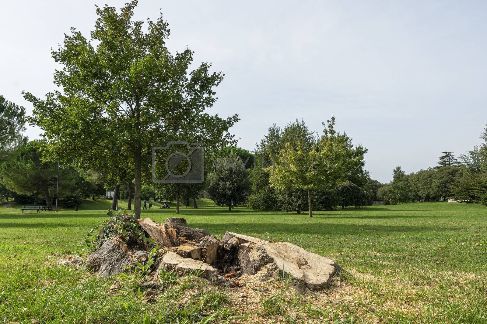 the trunk of a cut tree in the Moretti park in Udine