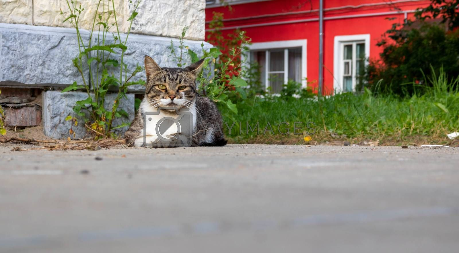 A street cat . A grey cat lies on the pavement and looks at the camera