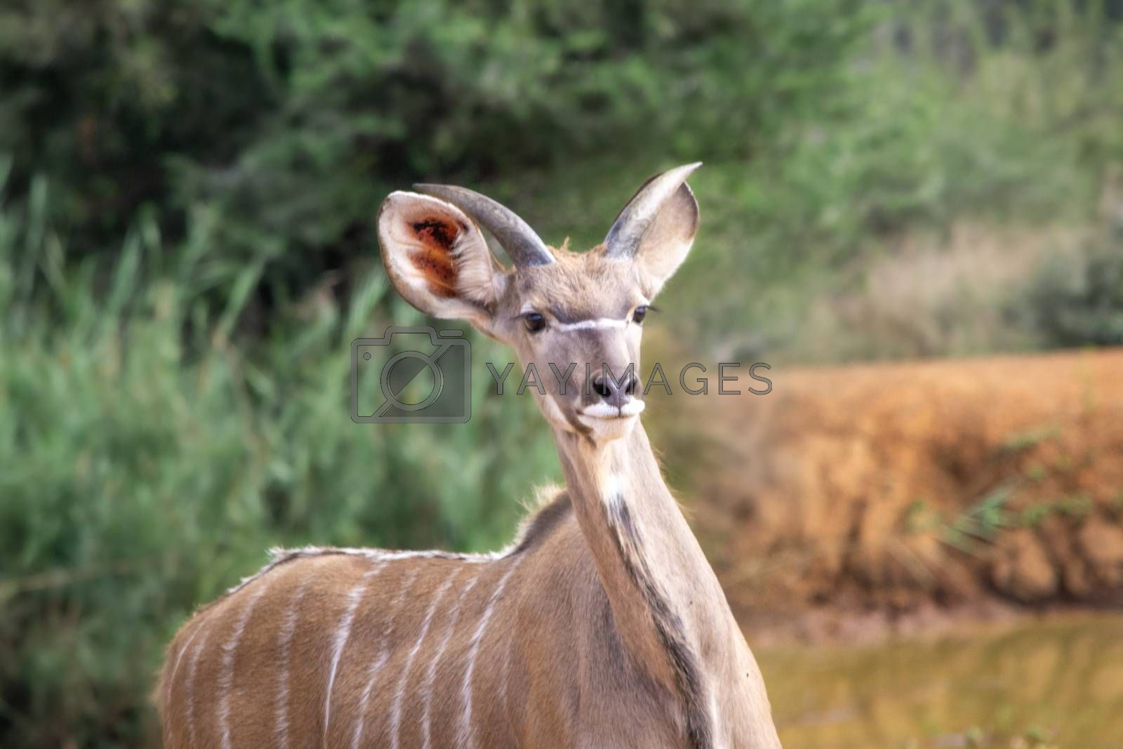 Juvenile Greater Kudu or Tragelaphus strepsiceros alerted in the African savannah. Safari animal.
