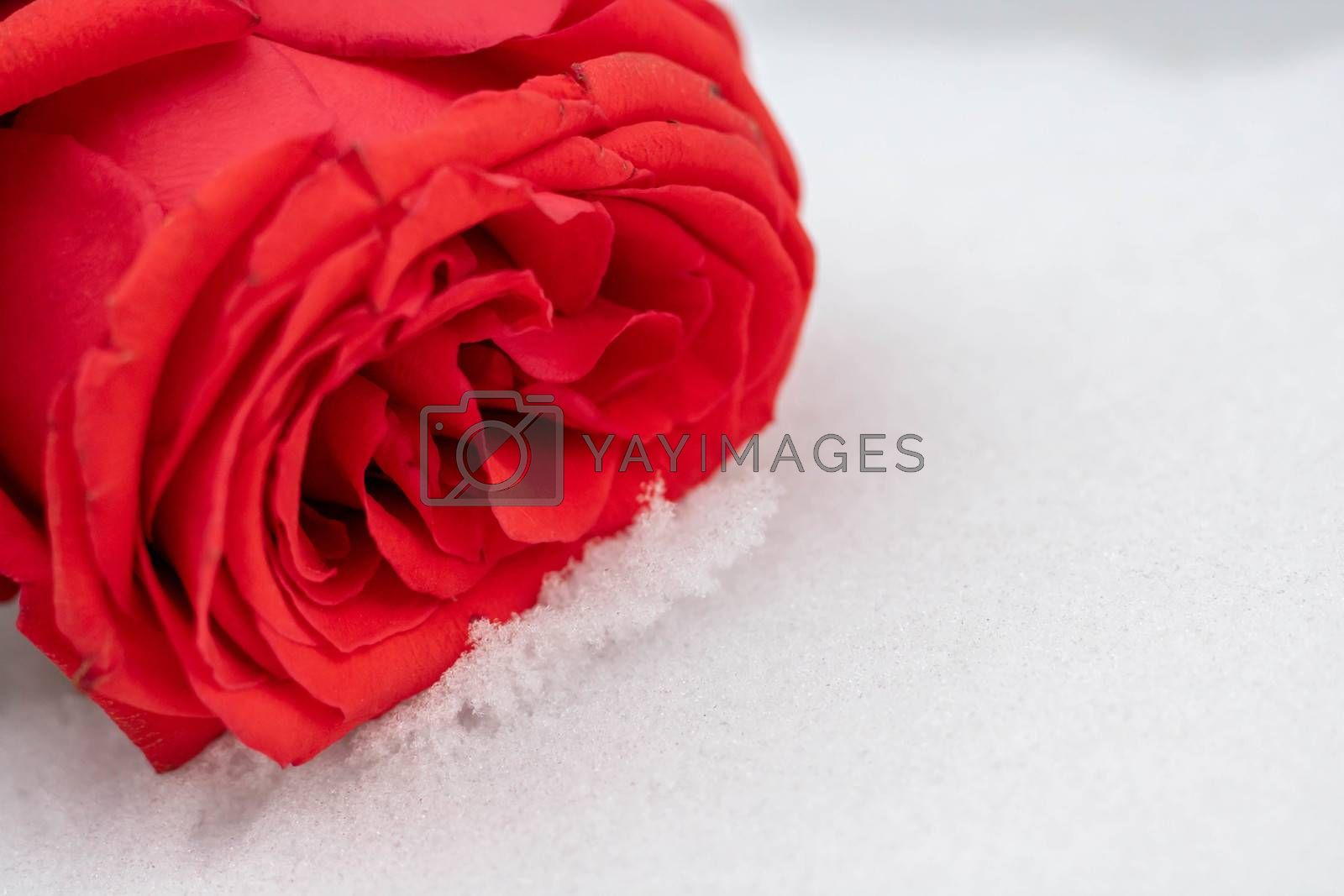 Rose flowers under the first snow background