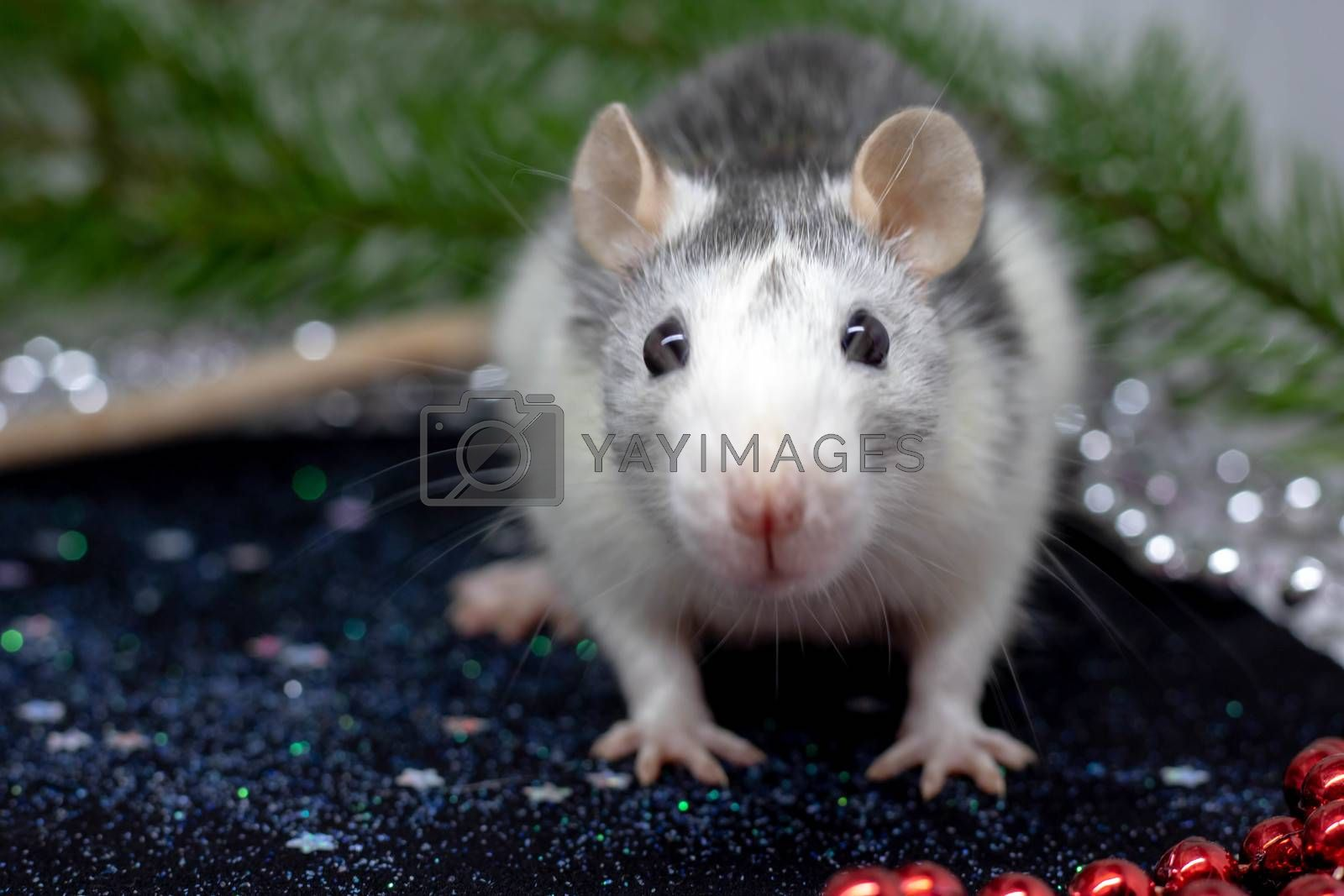 A close-up of a rat peeking out of its hiding place, a symbol of the 2020 Concept.Chinese horoscope
