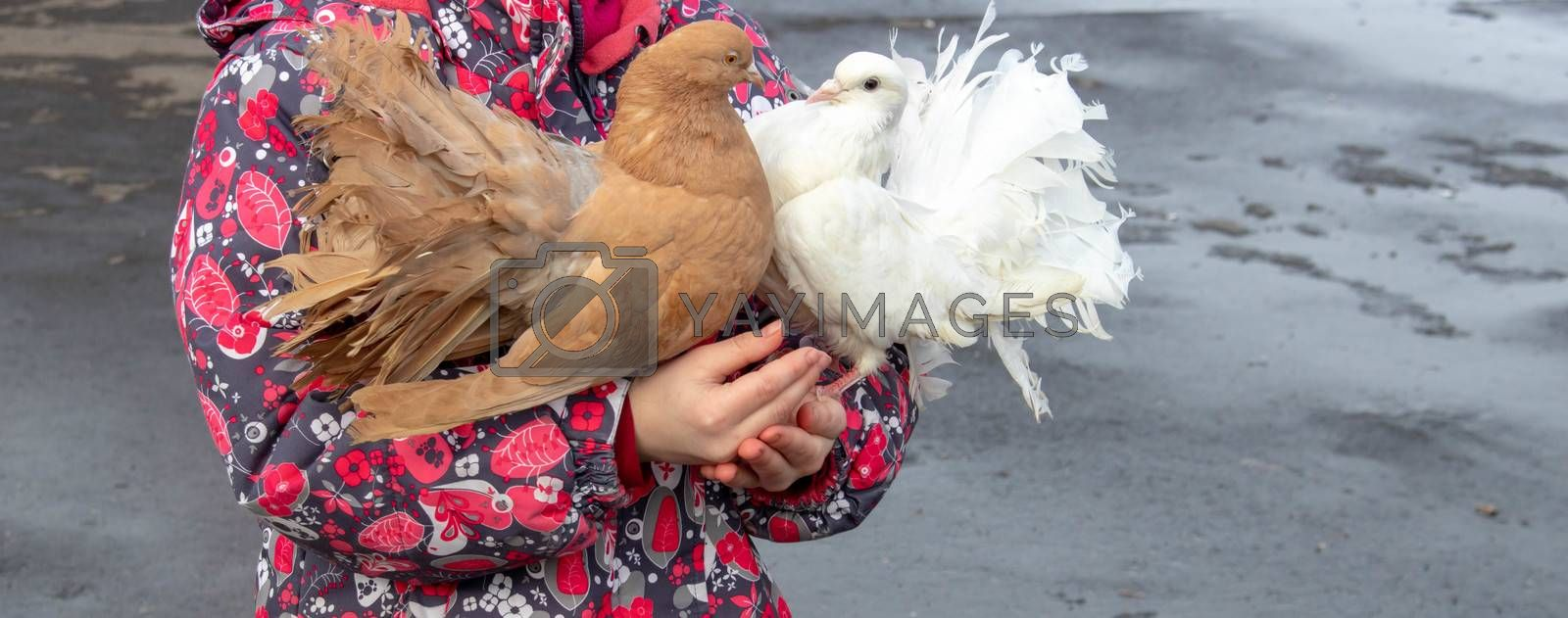 children's hands hold domestic pigeons white and brown