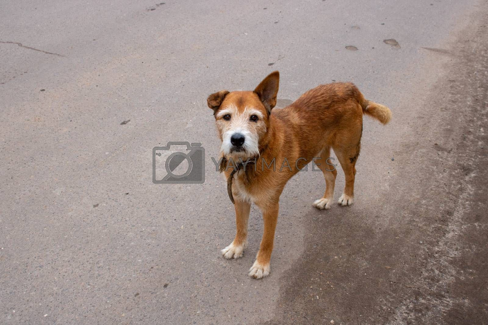 a brown old sad dog walks alone in the street