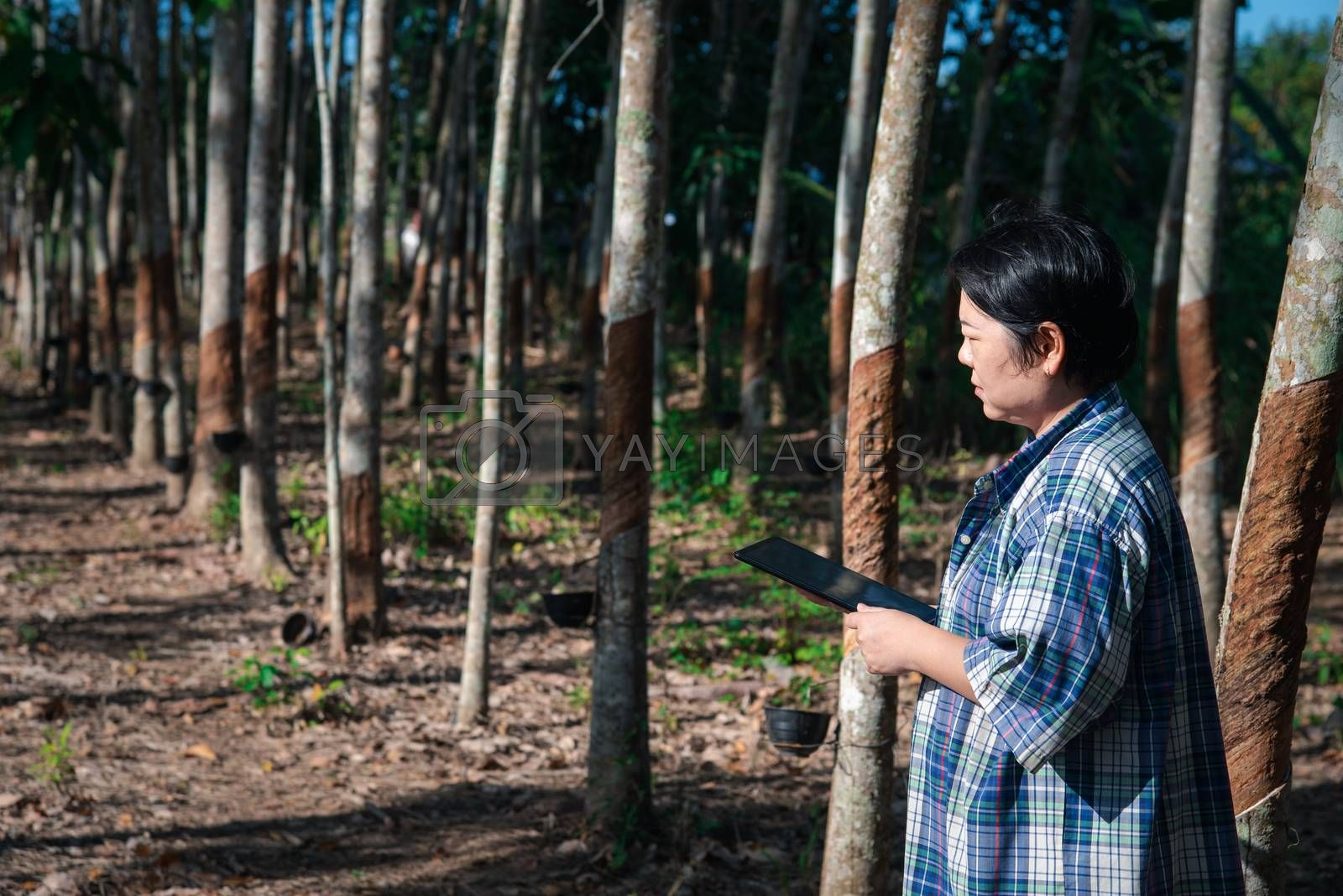Asian woman smart farmer agriculturist working at rubber tree plantation with Rubber tree in row natural latex is a agriculture harvesting natural rubber in white milk color for industry in Thailand
