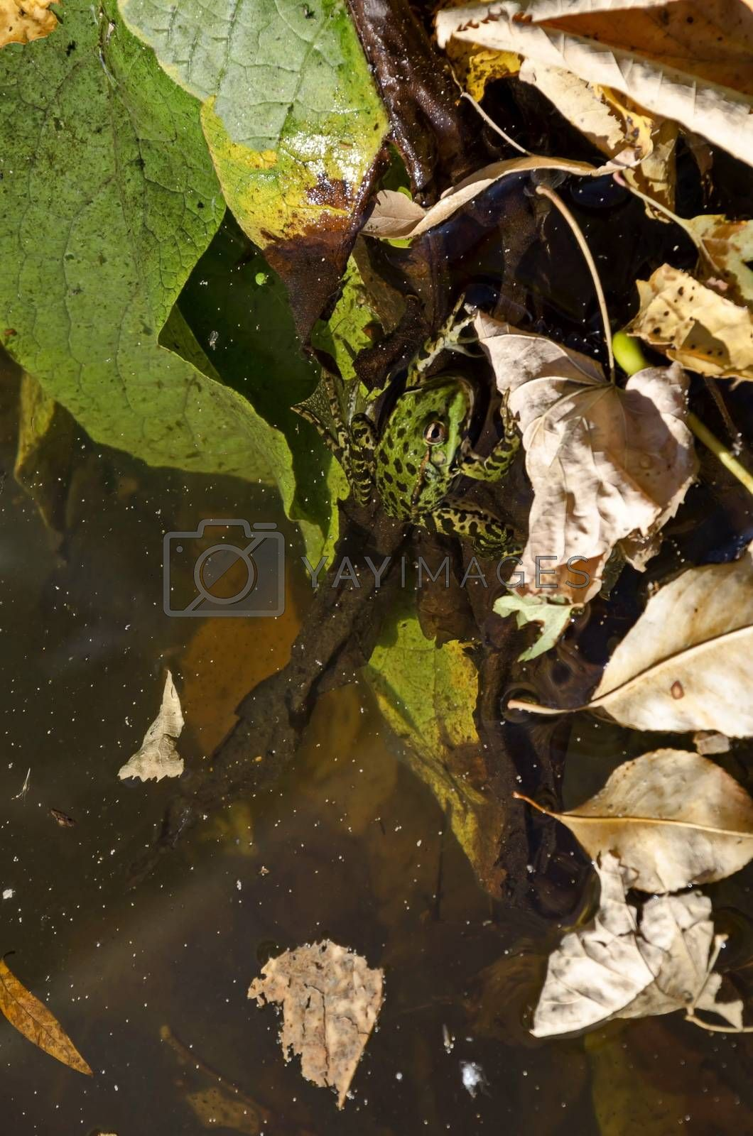 Lake with colorful autumn leaves and a green frog or Rana in the water, Vrana park, Sofia, Bulgaria