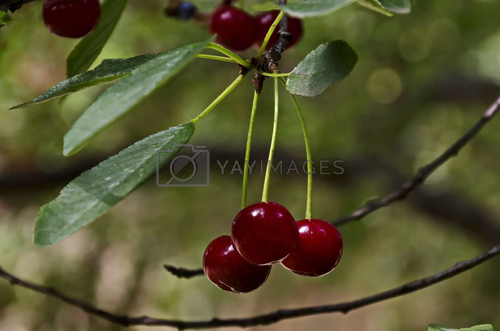 Cherry or sour cherry twig with sweet appetizing red fruits in the garden, Sofia, Bulgaria
