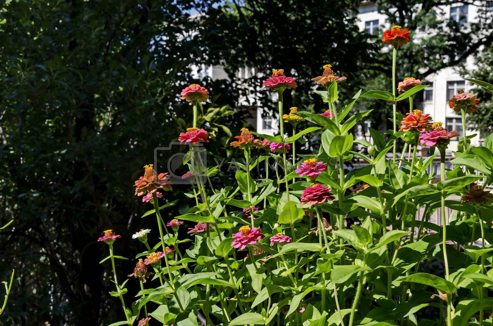 Field with multi coloured bloom  zinnia  in the balcony by vili45