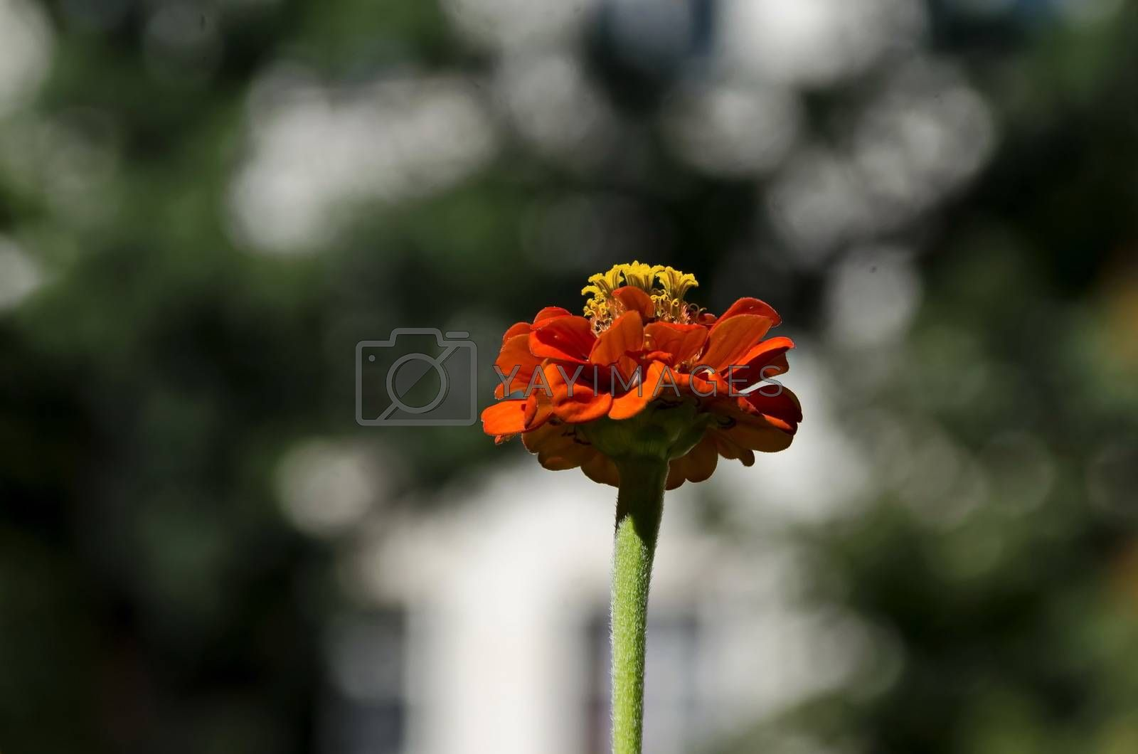 Fresh twig of orange zinnia  bloom in the garden, Sofia, Bulgaria