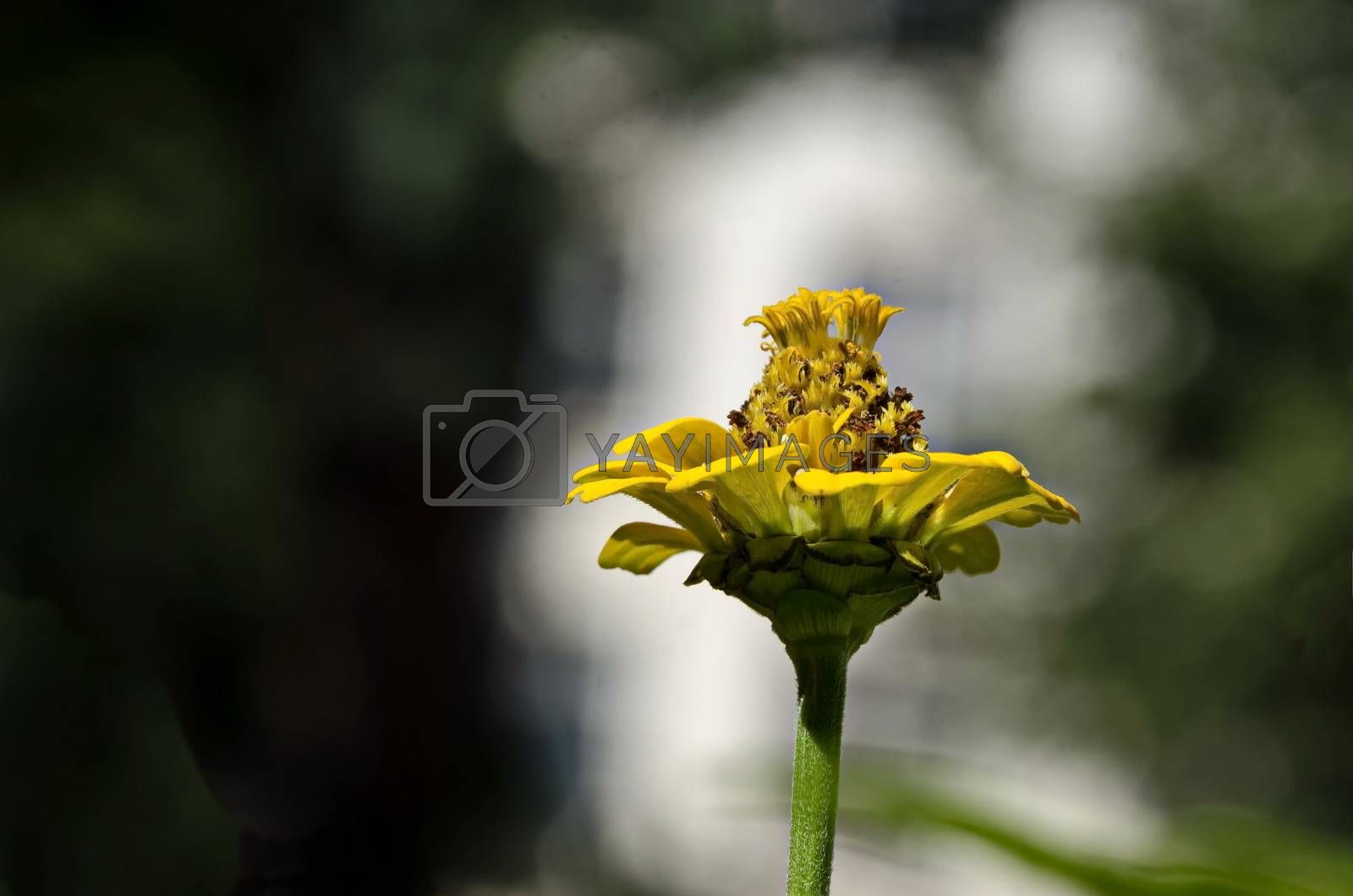 Fresh twig of yellow zinnia  bloom in the garden, Sofia, Bulgaria