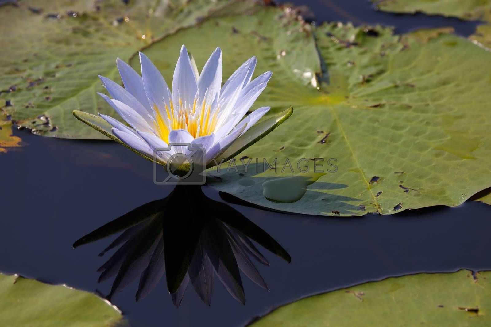 Vibrant blue star lotus waterlily (Nymphaea nouchali) in lake with lily pads and reflection, Groot Marico, South Africa