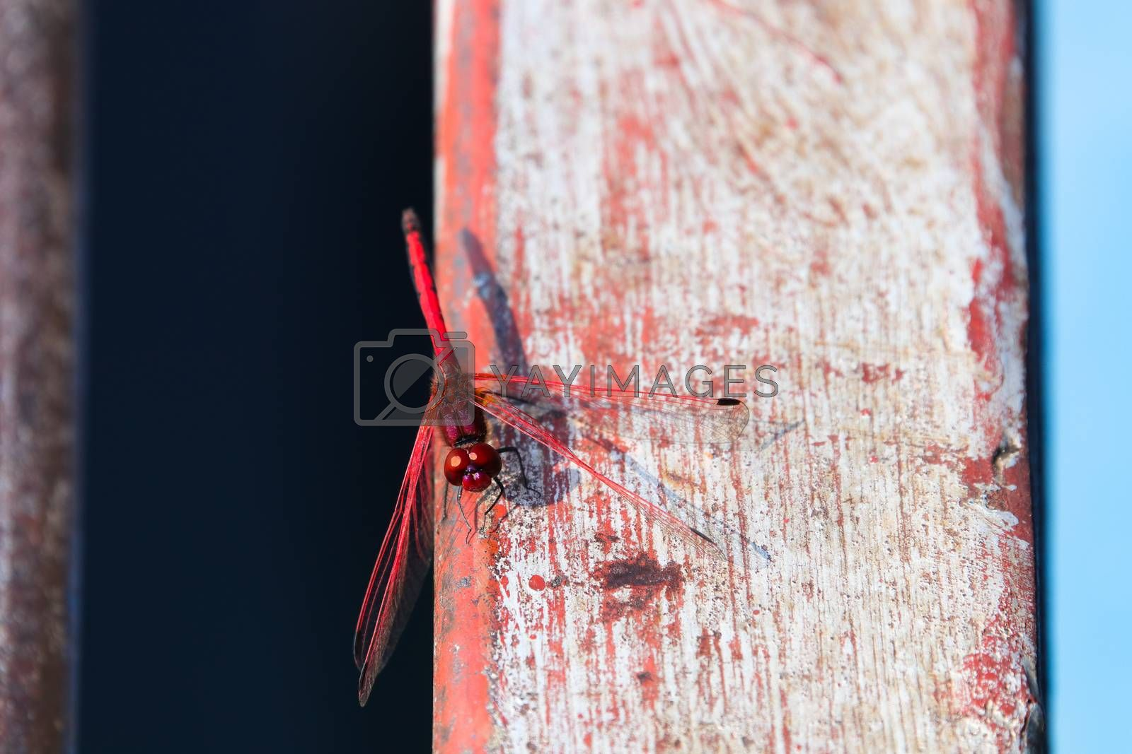 A vibrant red-veined dropwing dragonfly (Trithemis arteriosa) on red and white painted wood beam, Groot Marico, South Africa