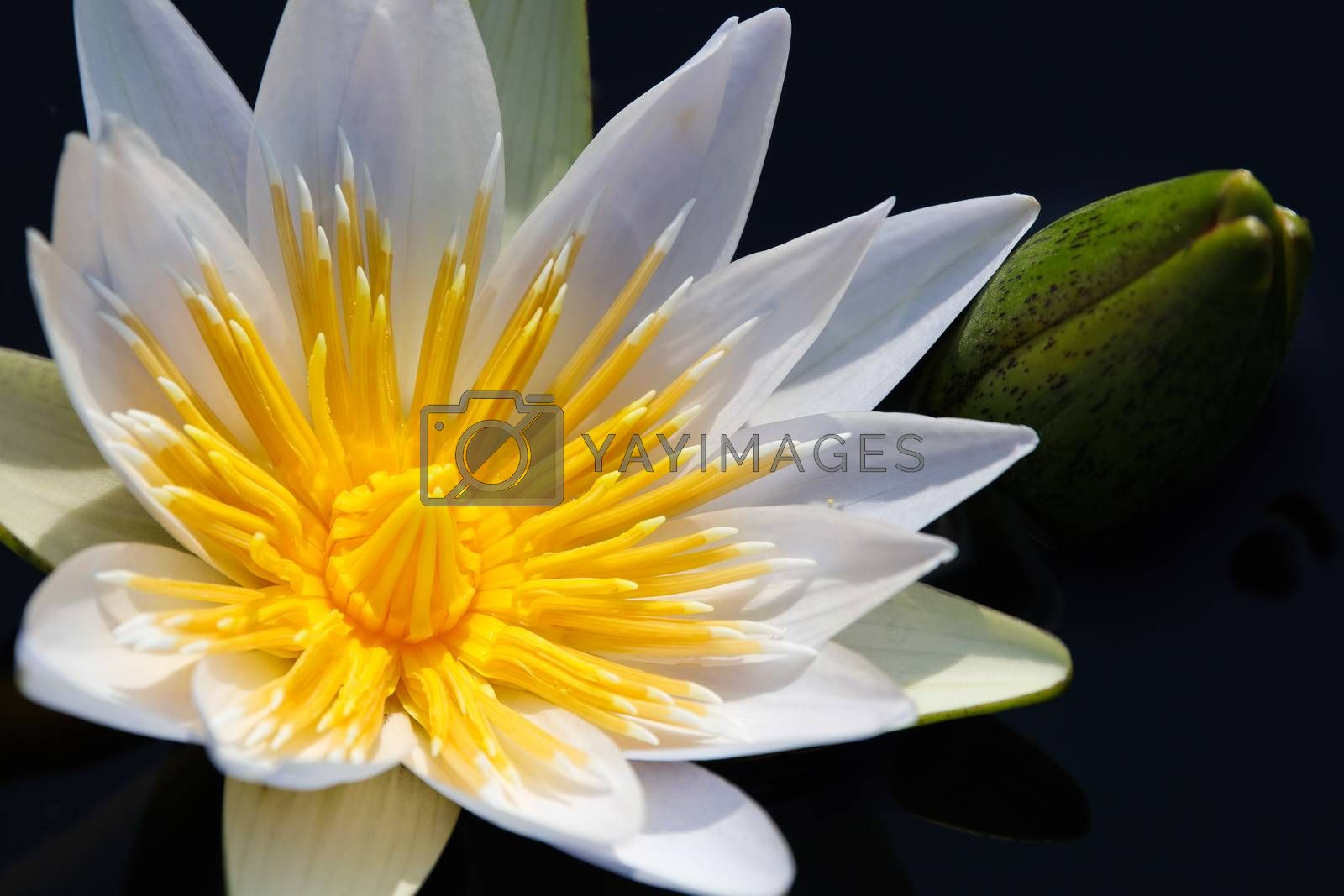Radiant white star lotus waterlily (Nymphaea nouchali) and flower bulb close-up, Groot Marico, South Africa