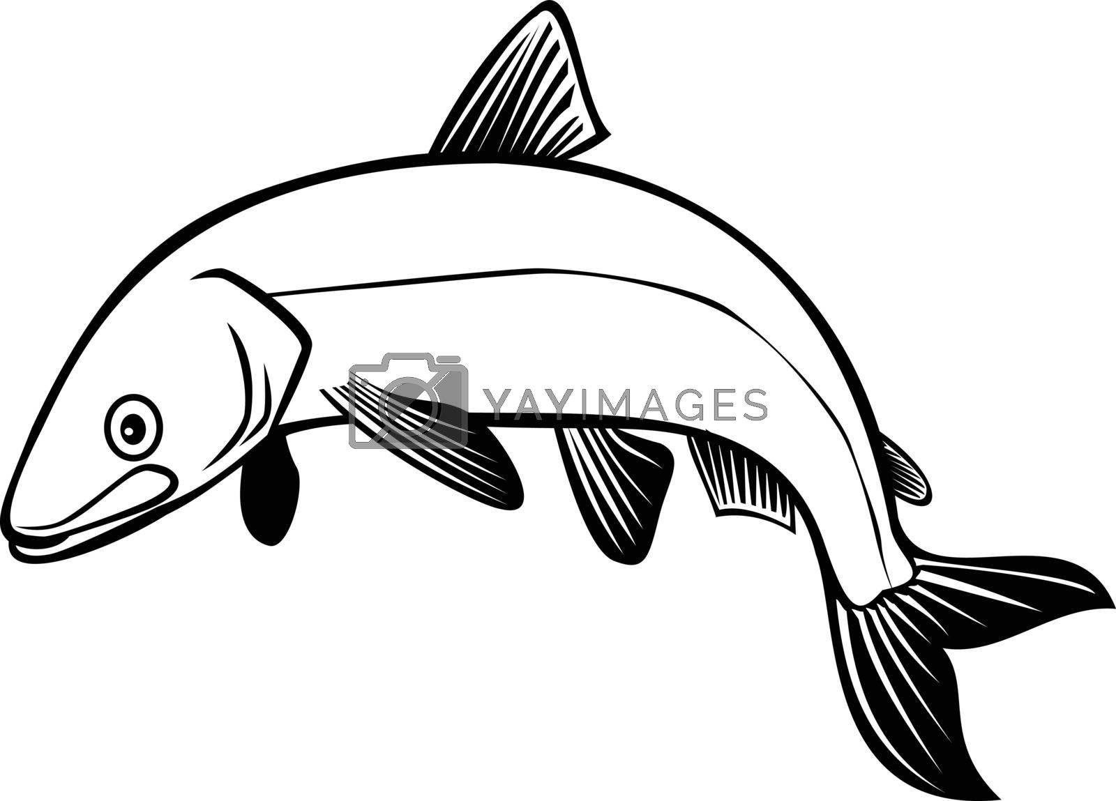 Retro style illustration of a bloater or Coregonus hoyi, a species or form of freshwater whitefish in the family Salmonidae, jumping up on isolated background done in black and white.