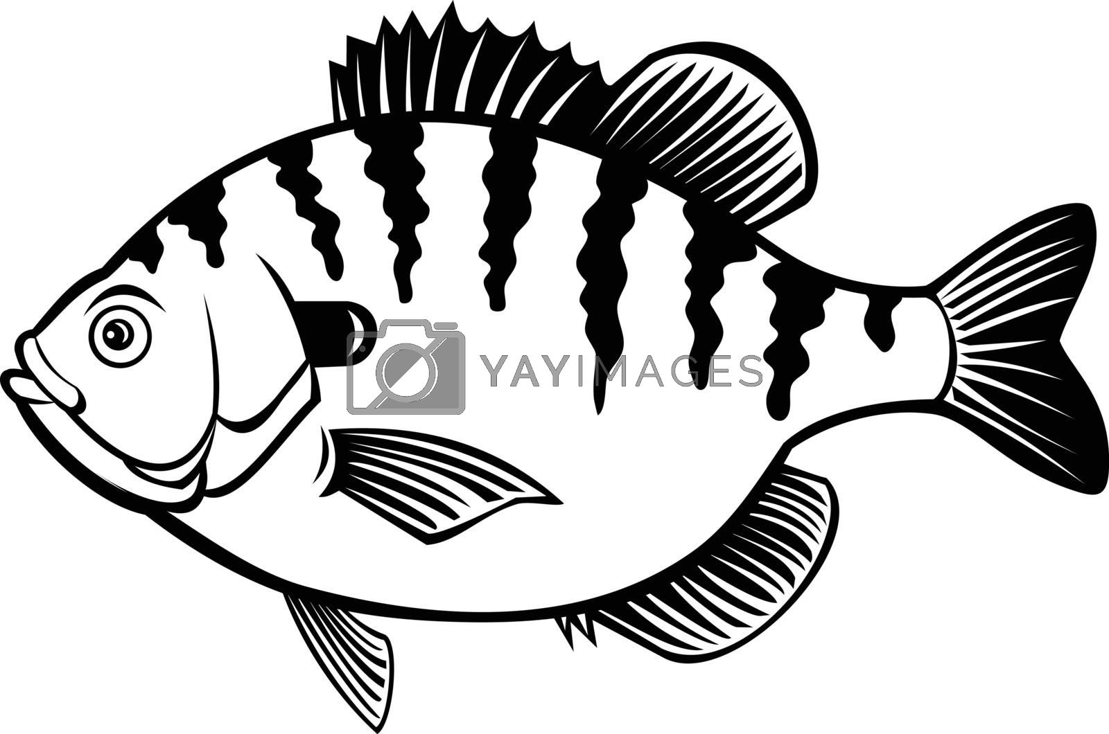Black and white illustration of a bluegill, bream, brim, sunny or copper nose, a species of freshwater fish of the sunfish family Centrarchidae of order Perciformes on isolated white background.