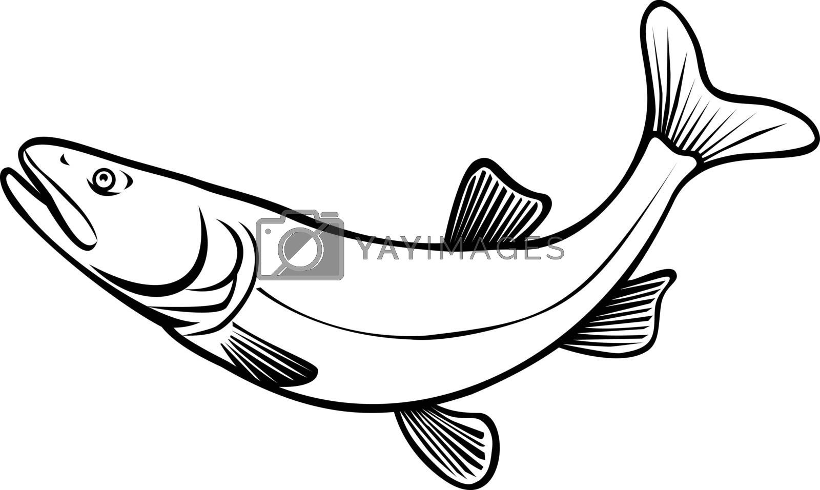 Retro style illustration of a Colorado pikeminnow, Ptychocheilus lucius or Colorado squawfish, a large minnow native to the Colorado River leaping on isolated background done in black and white.