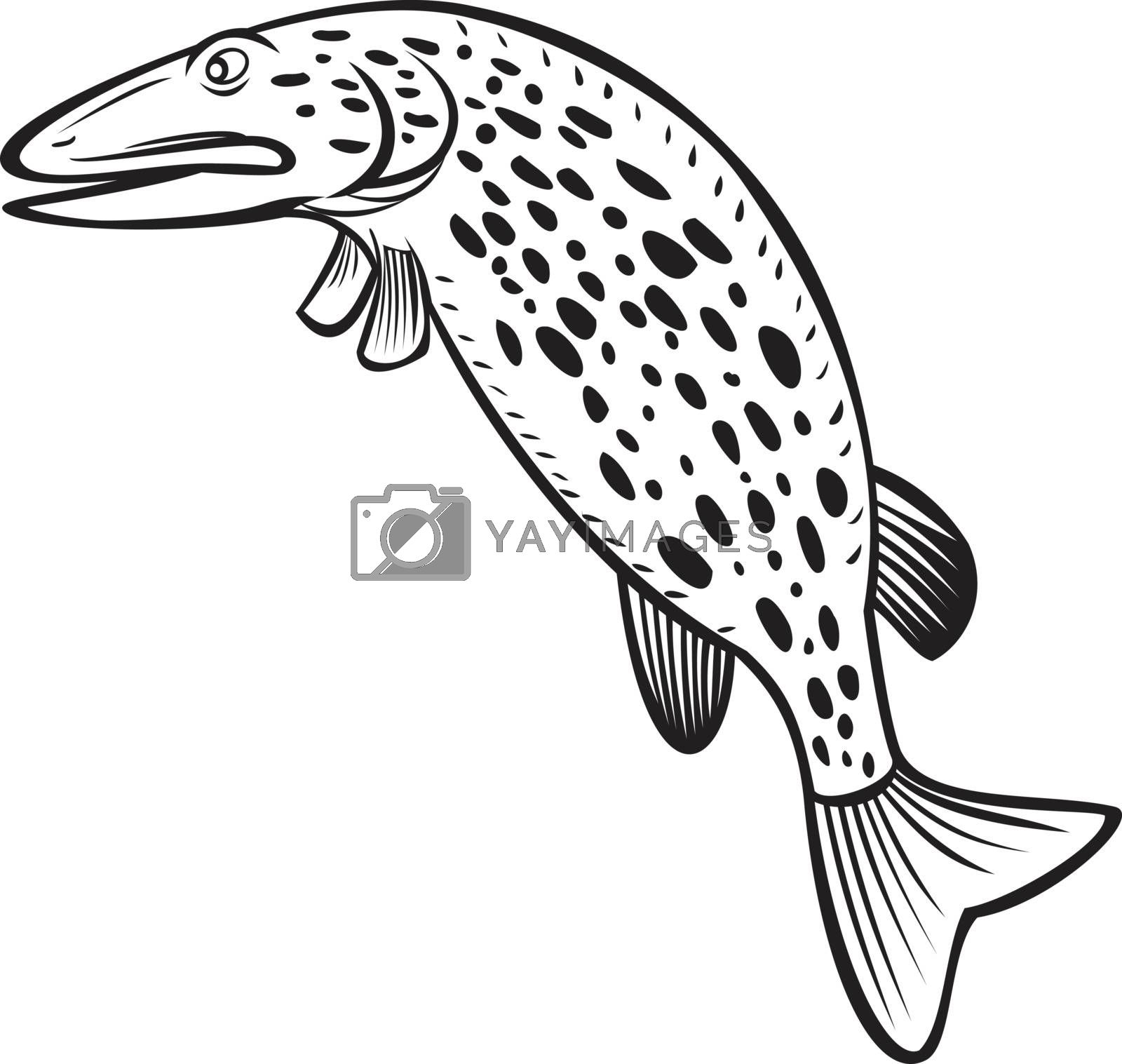 Cartoon style illustration of a northern pike Esox lucius, a species of carnivorous fish of the genus Esox jumping up on isolated background done in black and white.
